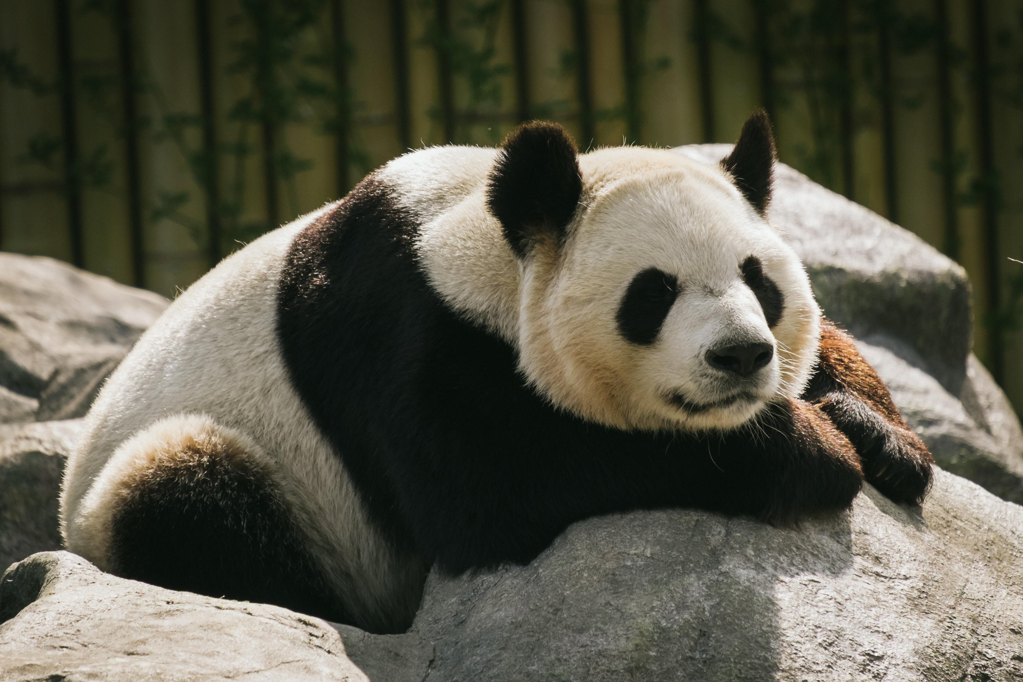 59055 download wallpaper Animals, Panda, Animal, Sleep, Dream screensavers and pictures for free