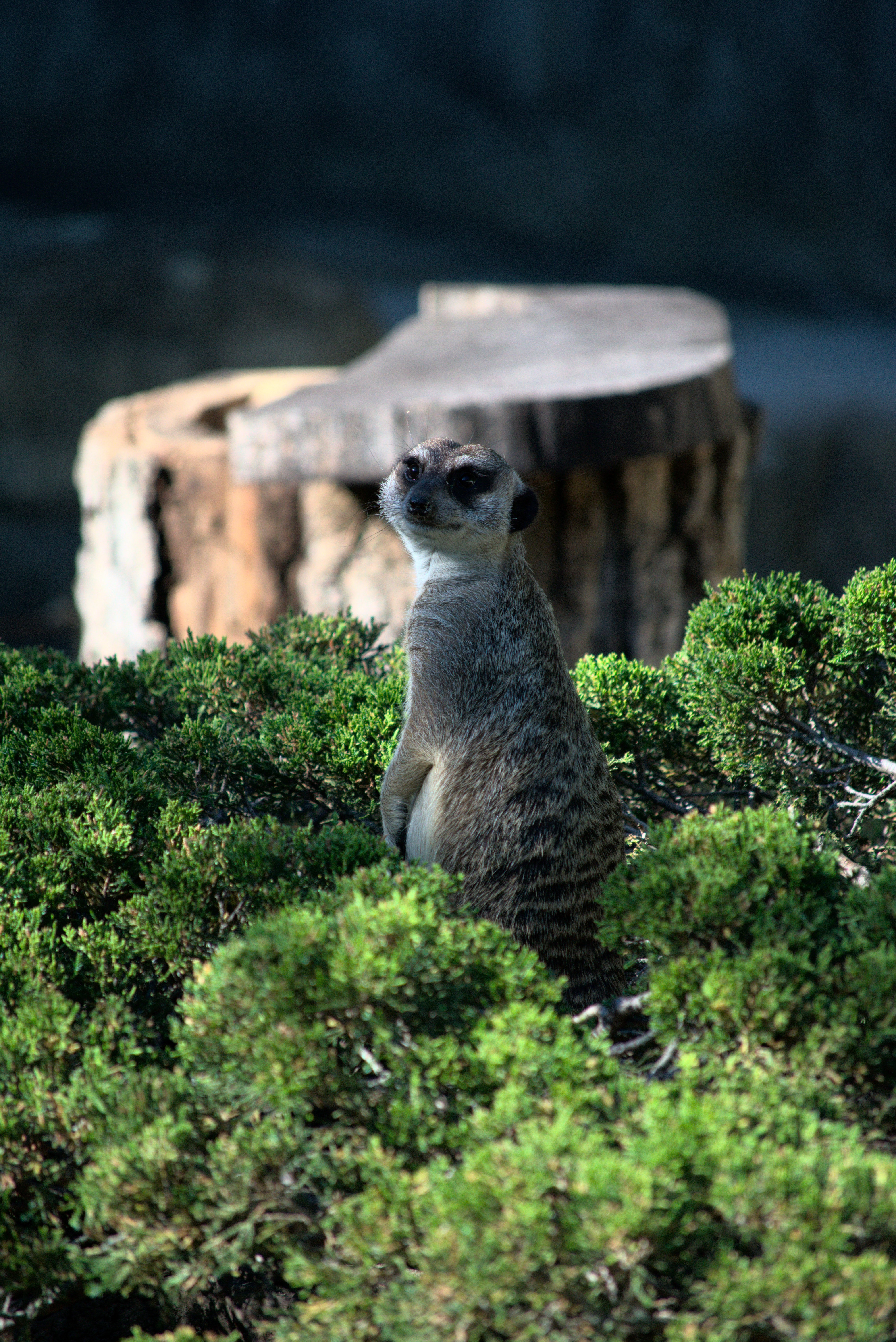 102861 download wallpaper Animals, Meerkat, Surikat, Animal, Sight, Opinion, Funny, Bush screensavers and pictures for free