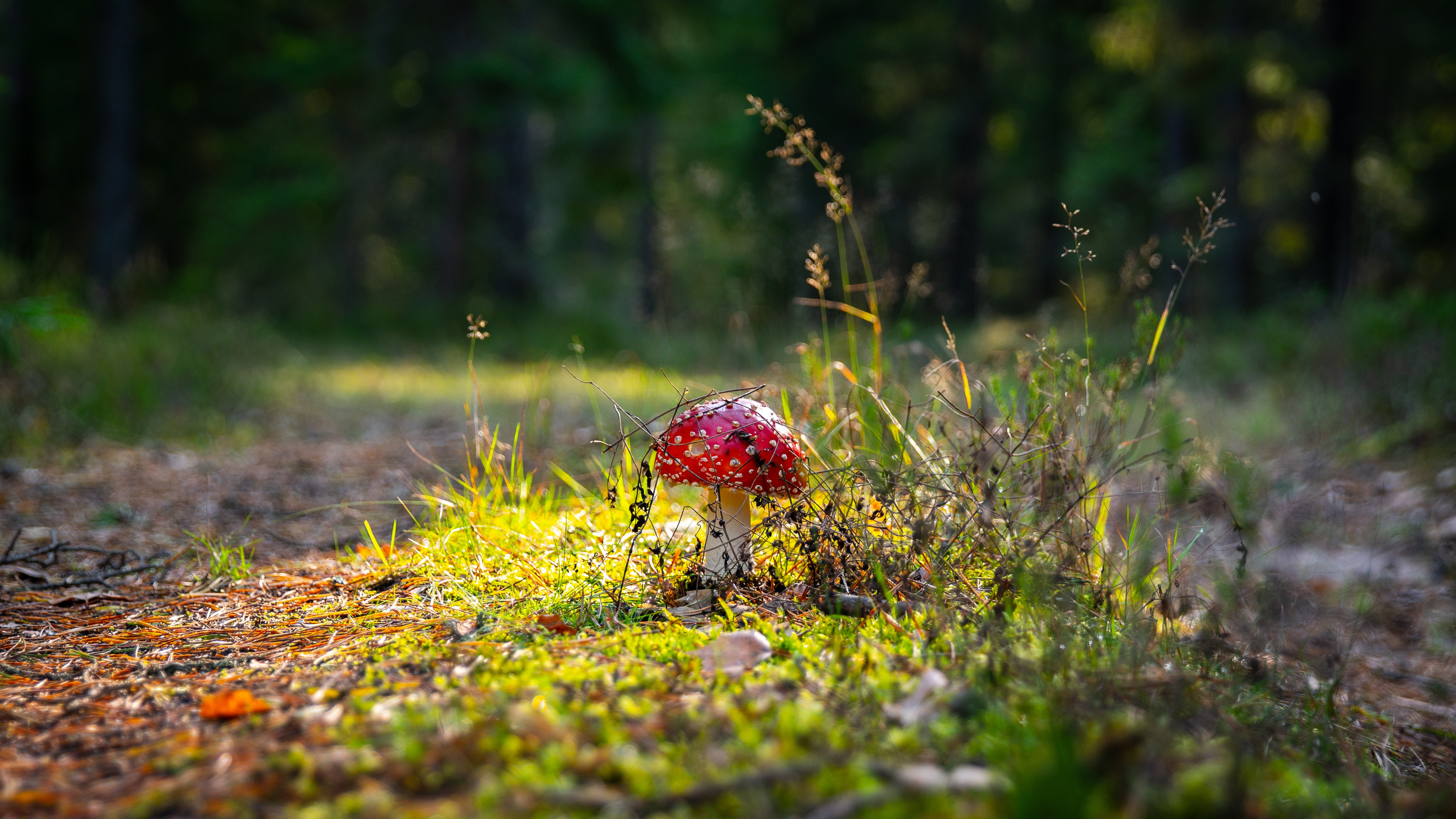115398 Hintergrundbild herunterladen Herbst, Natur, Grass, Wald, Pilz, Fliegenpilz, Fliegen Agaric - Bildschirmschoner und Bilder kostenlos