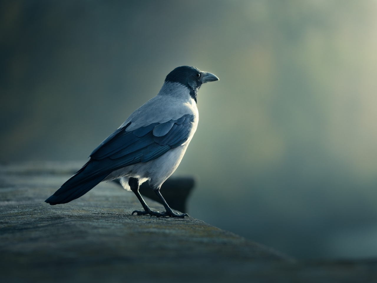 15686 download wallpaper Animals, Birds, Crows screensavers and pictures for free