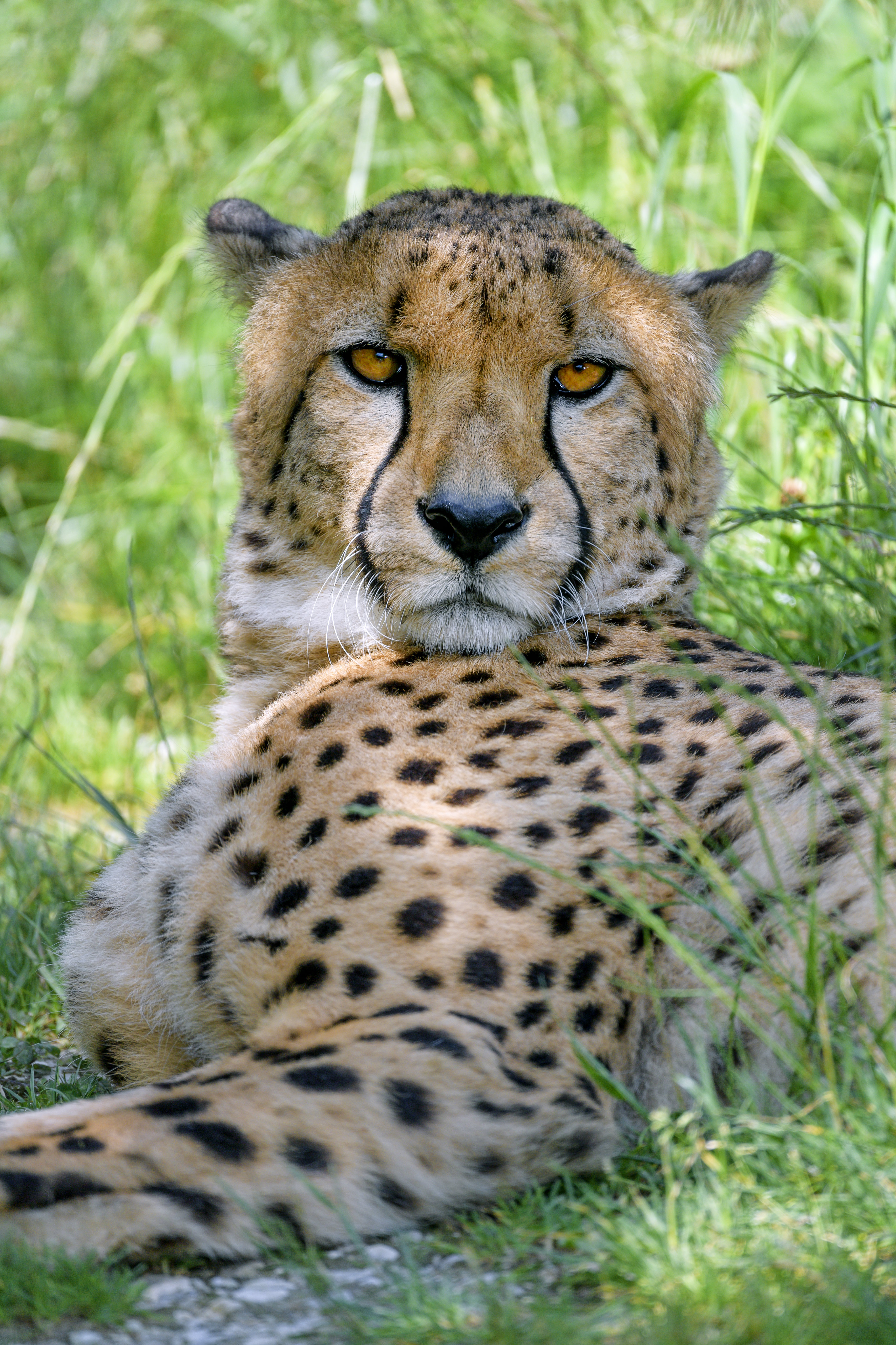 150942 download wallpaper Animals, Cheetah, Predator, Sight, Opinion, Muzzle, Big Cat screensavers and pictures for free