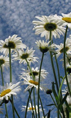 42802 télécharger le fond d'écran Plantes, Fleurs, Camomille - économiseurs d'écran et images gratuitement
