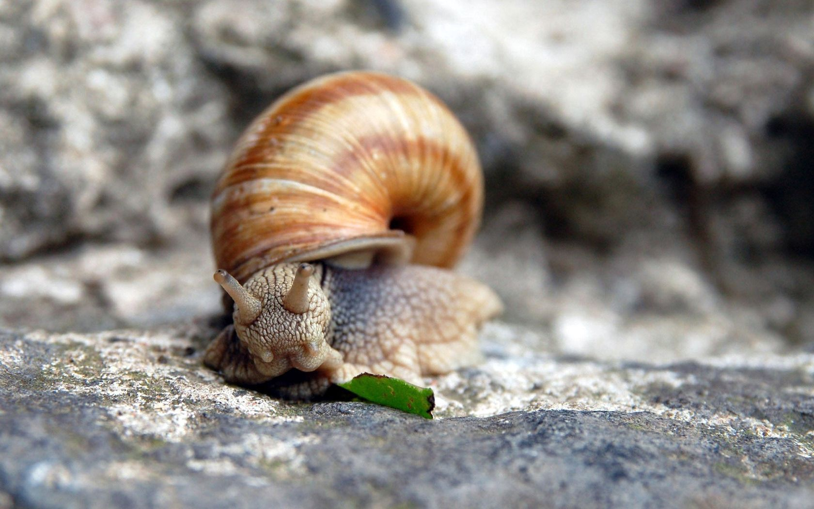 142787 download wallpaper Macro, Snail, Carapace, Shell, Rock, Stone, Horns screensavers and pictures for free