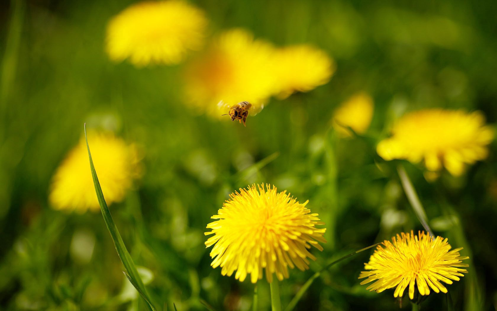 96343 Screensavers and Wallpapers Dandelions for phone. Download Flowers, Grass, Dandelions, Flight, Bee pictures for free