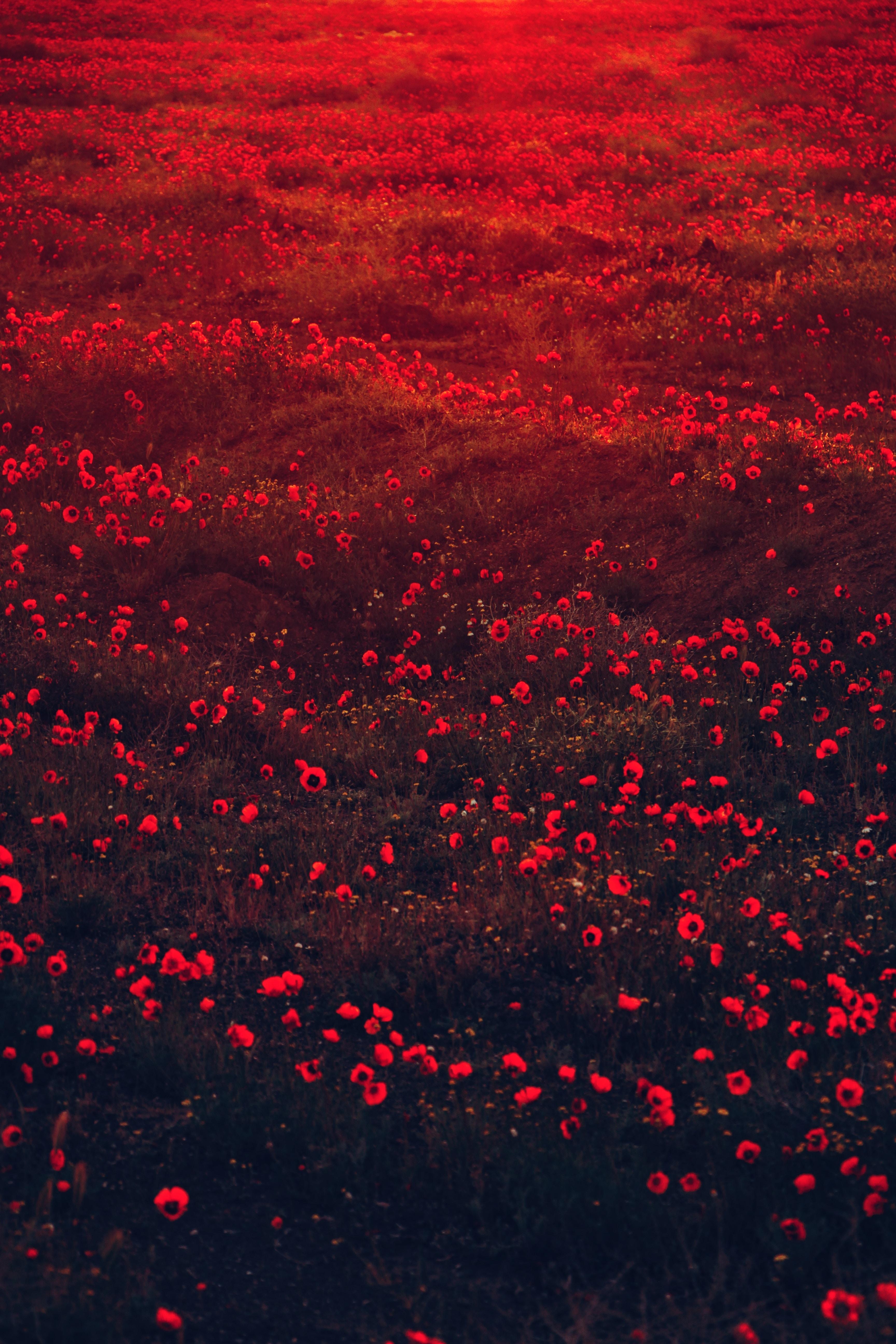 144881 скачать обои Цветы, Маки, Поле, Красный, Цветение - заставки и картинки бесплатно