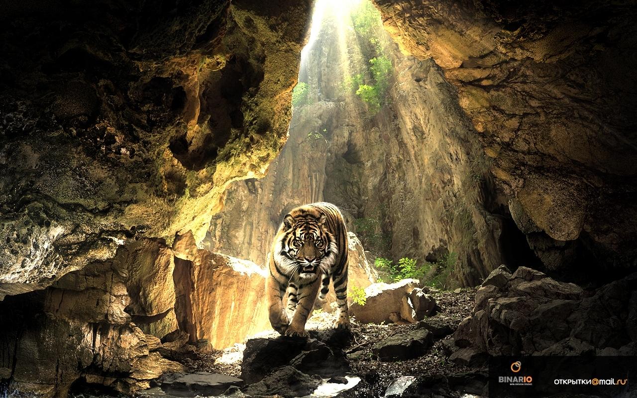 23876 descargar fondo de pantalla Animales, Tigres: protectores de pantalla e imágenes gratis