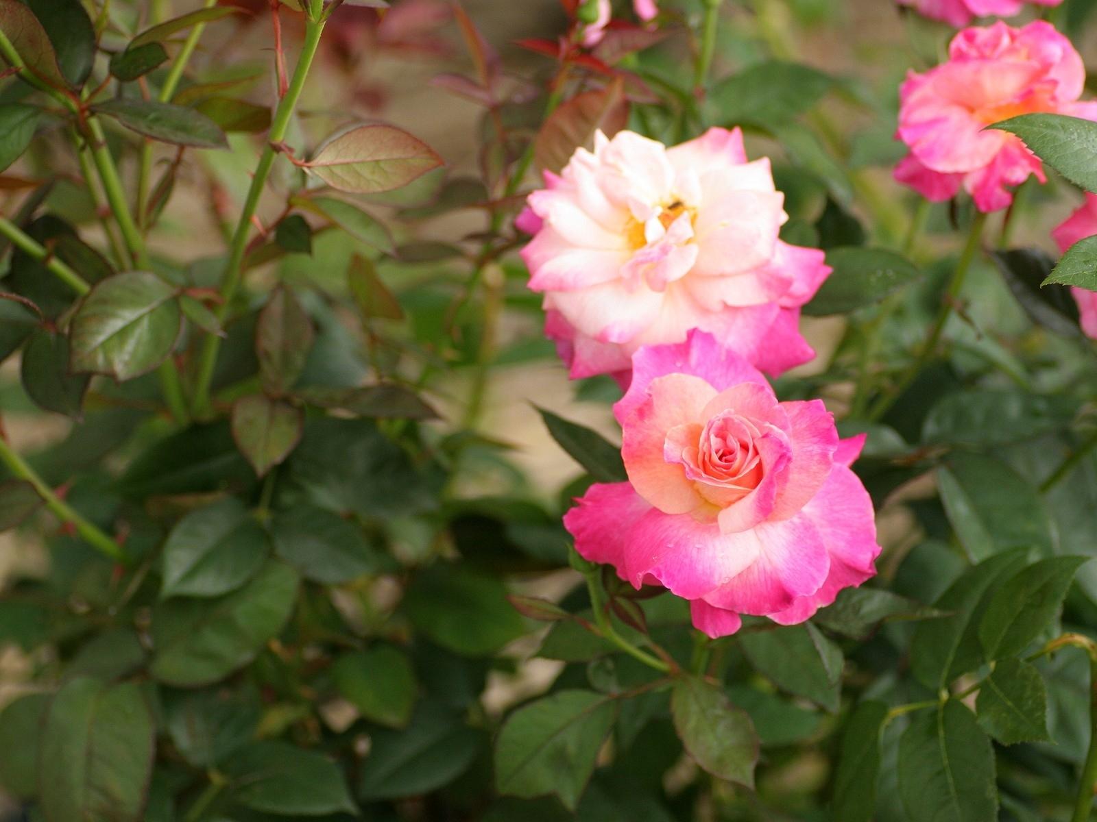 4200 скачать обои Растения, Цветы, Розы - заставки и картинки бесплатно