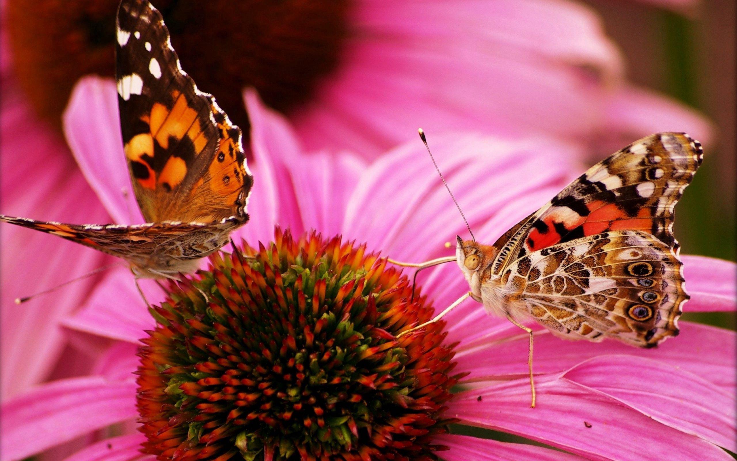 156490 скачать обои Макро, Бабочки, Цветок, Красивые, Лепестки - заставки и картинки бесплатно