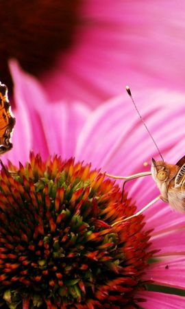 156490 descargar fondo de pantalla Macro, Mariposas, Flor, Hermosa, Hermoso, Pétalos: protectores de pantalla e imágenes gratis