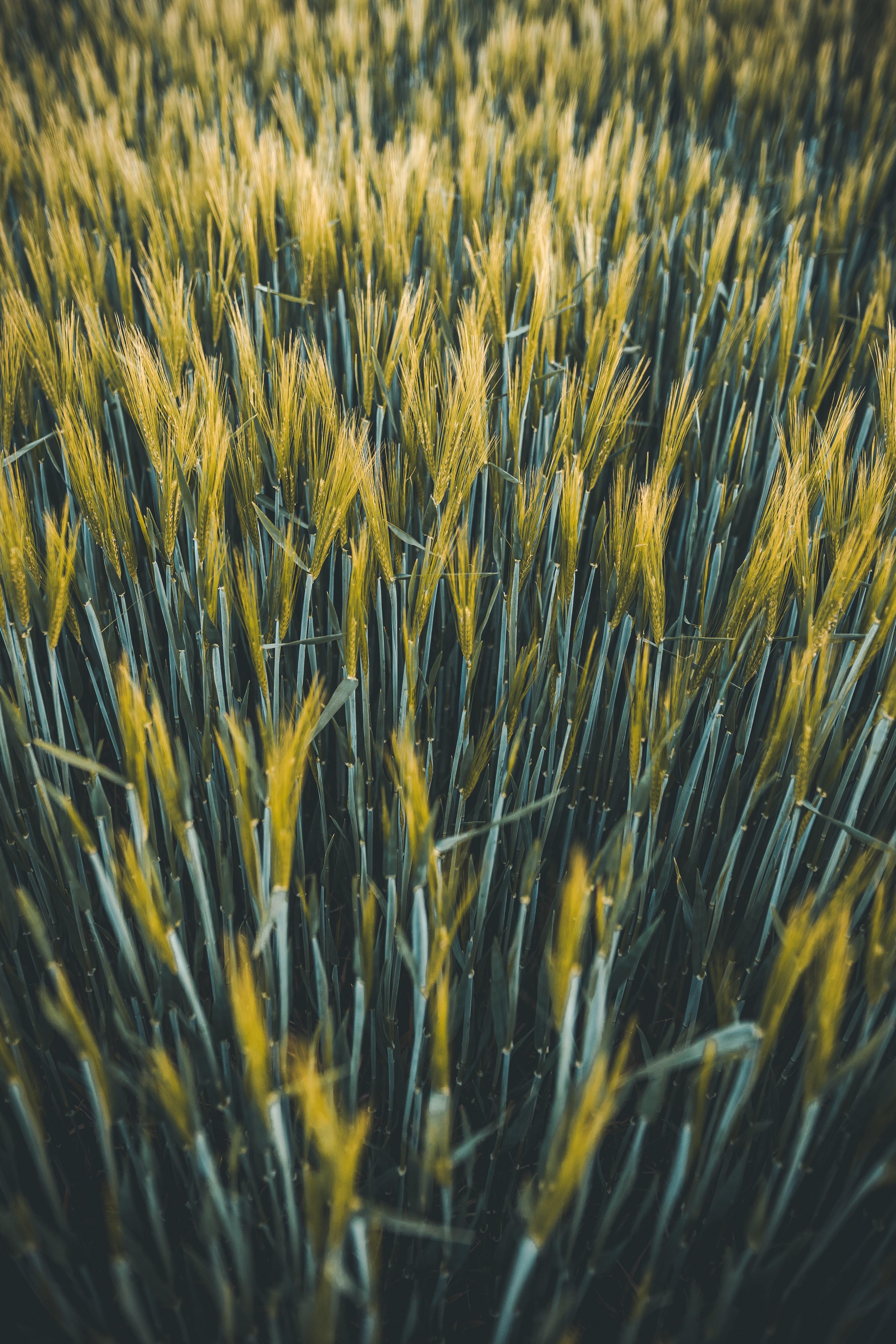 145700 скачать обои Природа, Колосья, Поле, Растения, Пшеница - заставки и картинки бесплатно