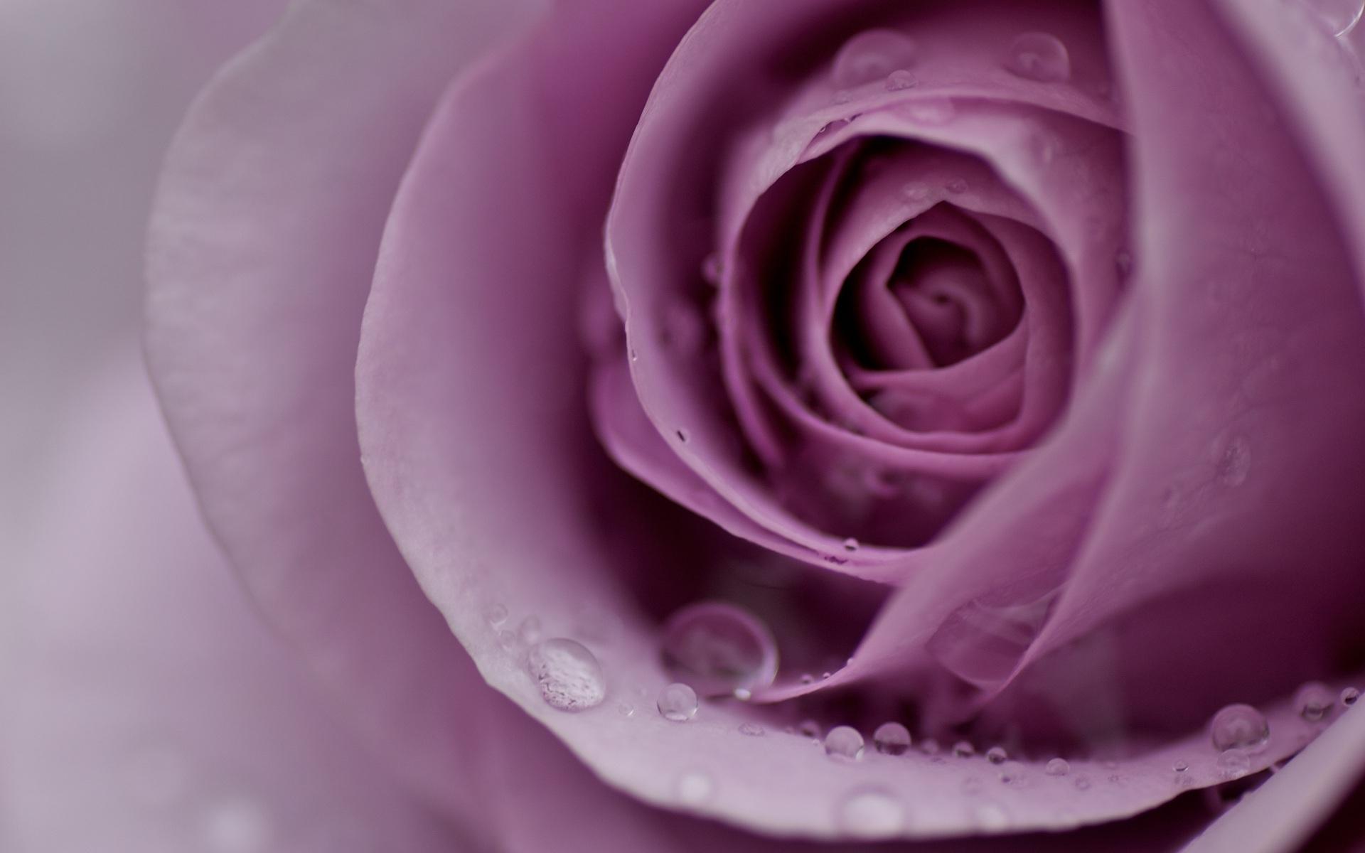 46252 скачать обои Растения, Цветы, Розы - заставки и картинки бесплатно