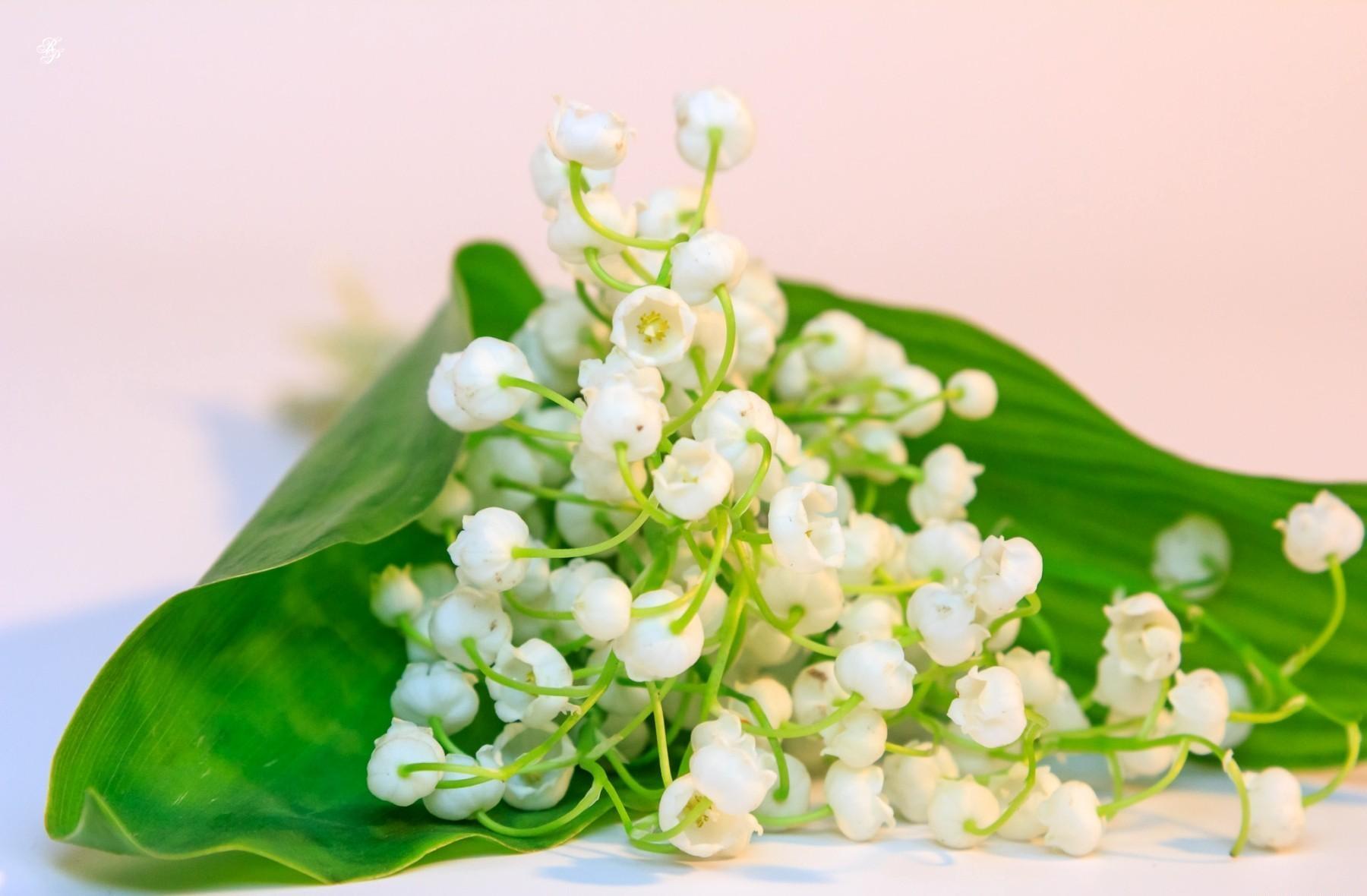 117264 免費下載壁紙 花卉, 风信子, 春天, 白雪公主, 雪白, 躺下来, 躺下, 铃兰 屏保和圖片