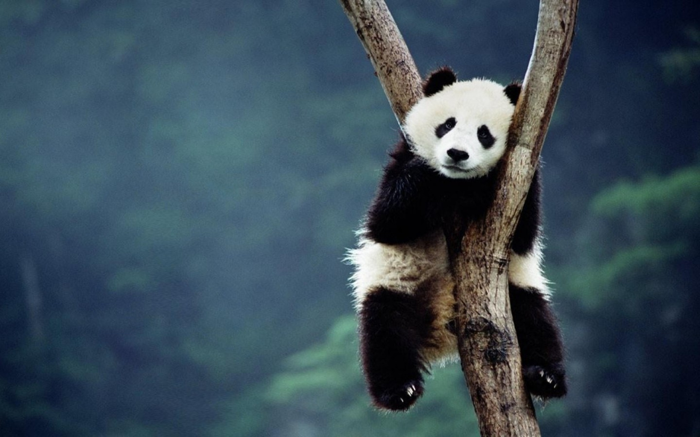 23040 download wallpaper Animals, Pandas screensavers and pictures for free
