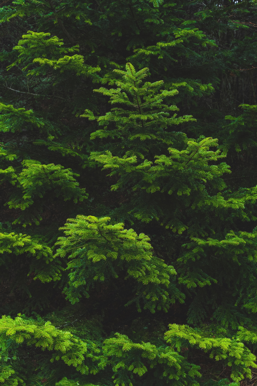99796 Заставки и Обои Иголки на телефон. Скачать Природа, Иголки, Ветка, Ель, Зеленый картинки бесплатно