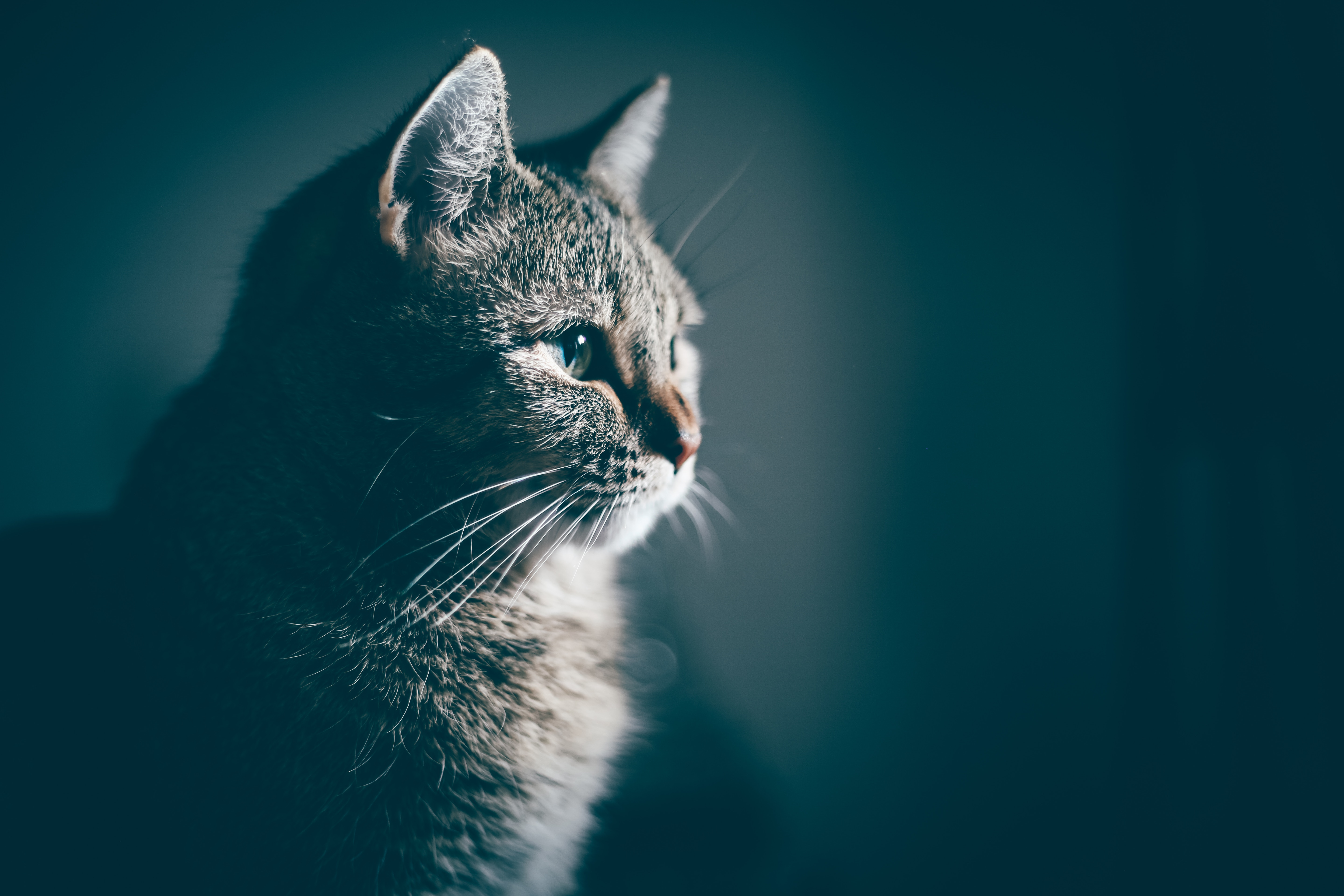 117322 download wallpaper Animals, Cat, Muzzle, Profile screensavers and pictures for free