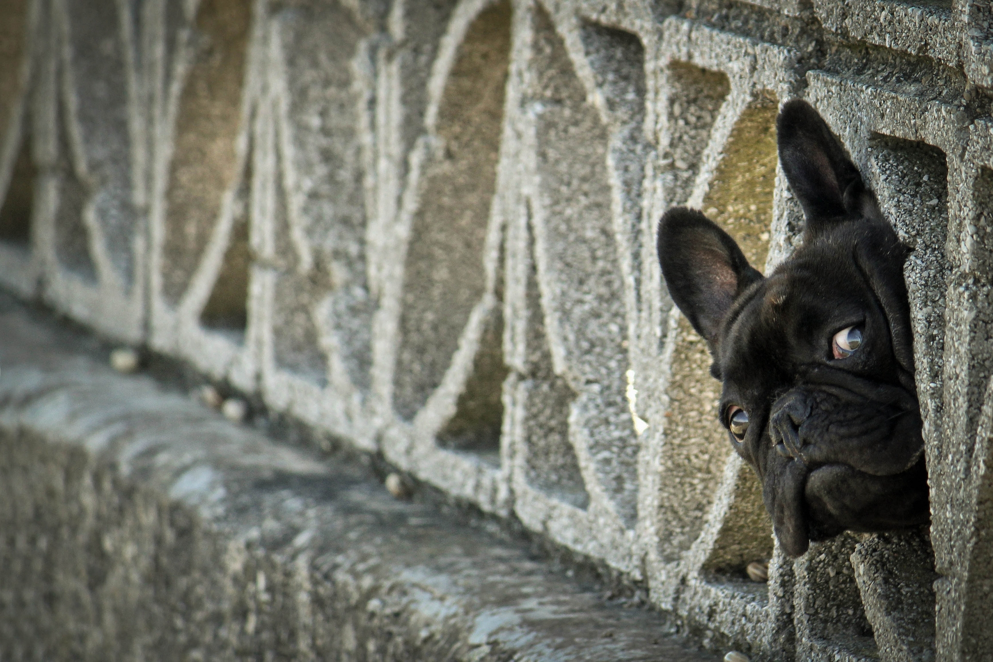 82448 download wallpaper Animals, French Bulldog, Peek Out, Look Out, Dog, Fence screensavers and pictures for free