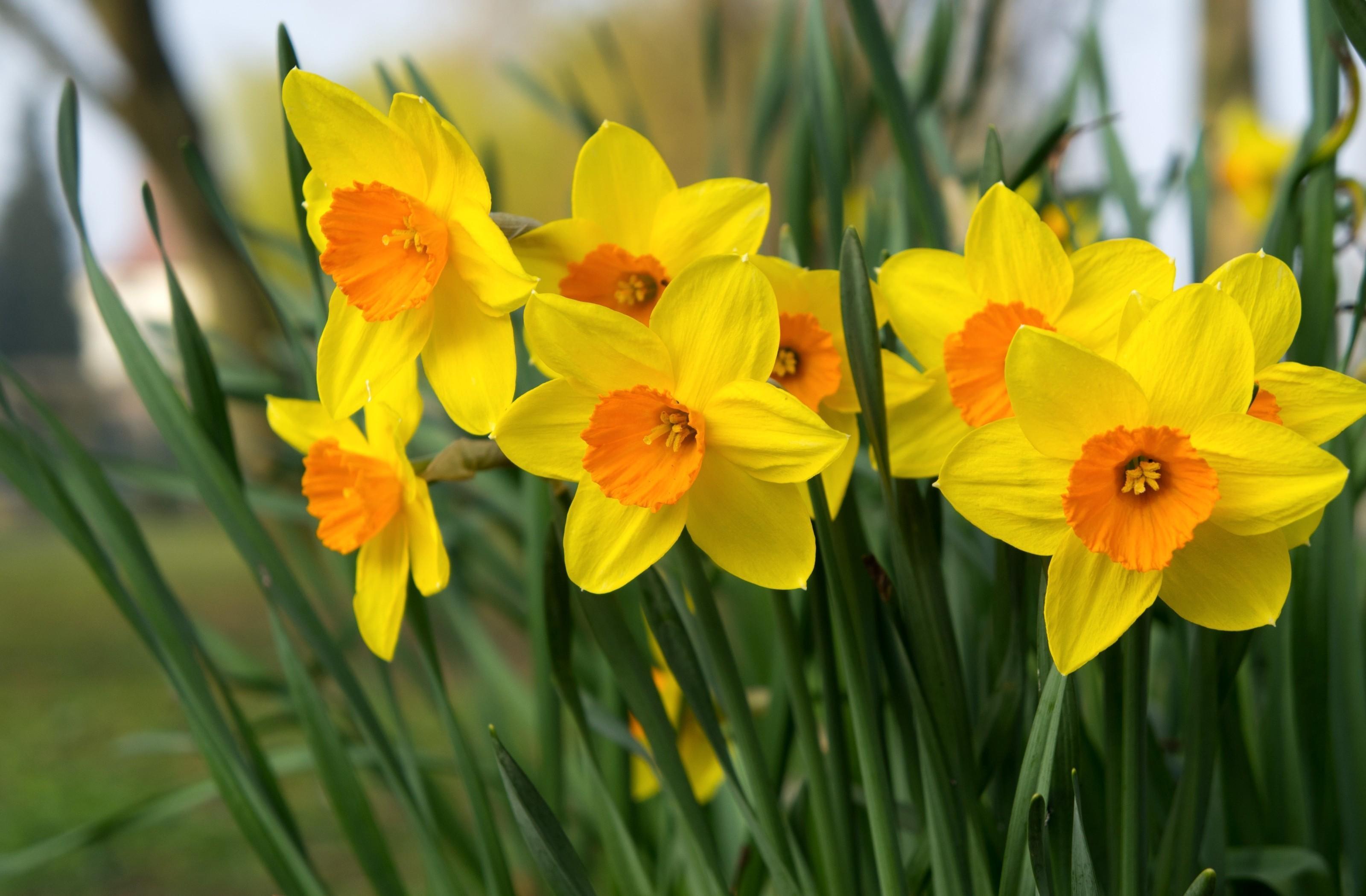 125651 Заставки и Обои Нарциссы на телефон. Скачать Цветы, Нарциссы, Яркие, Клумба, Весна картинки бесплатно
