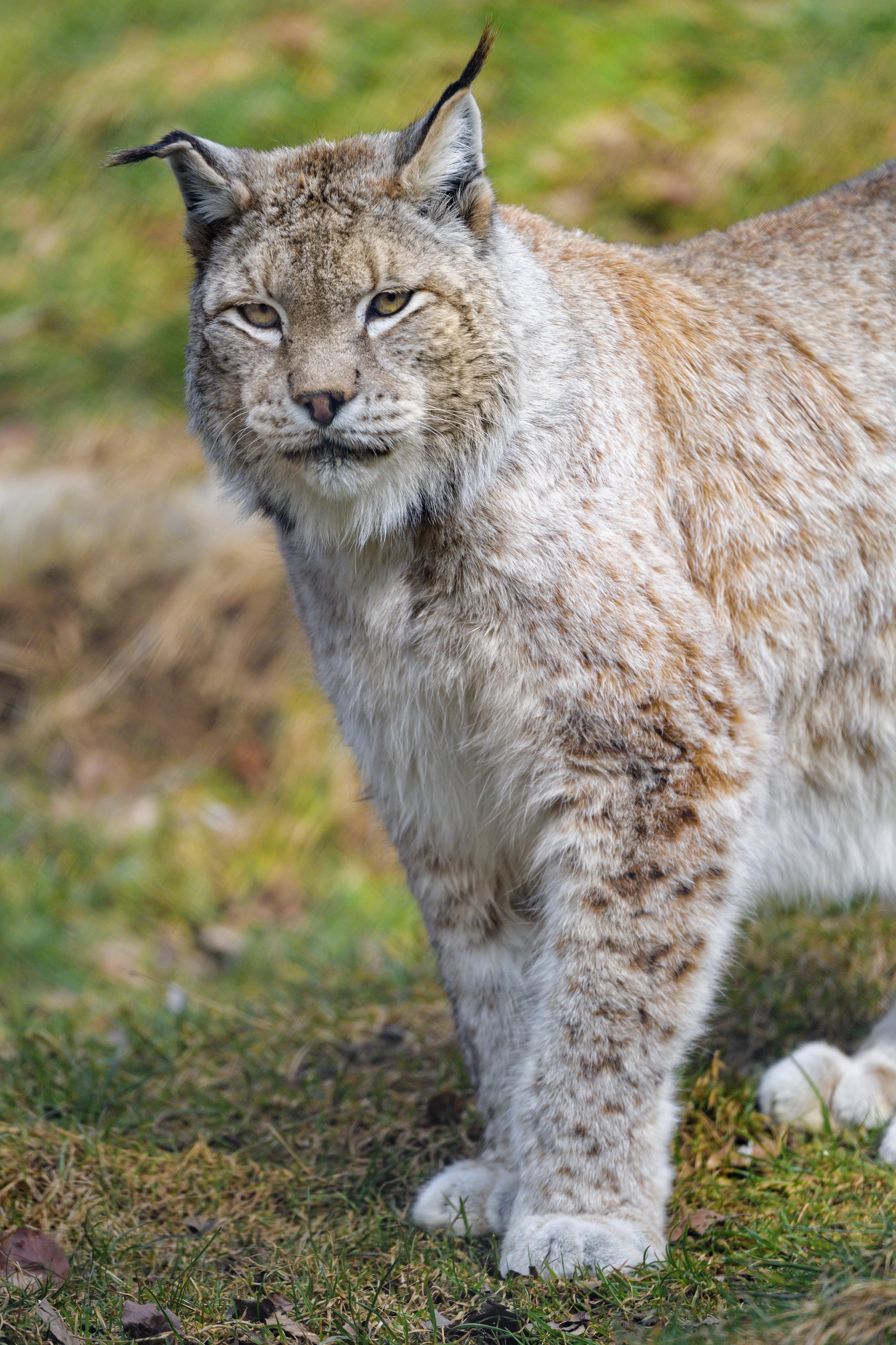 149168 download wallpaper Animals, Iris, Predator, Animal, Big Cat, Wildlife screensavers and pictures for free