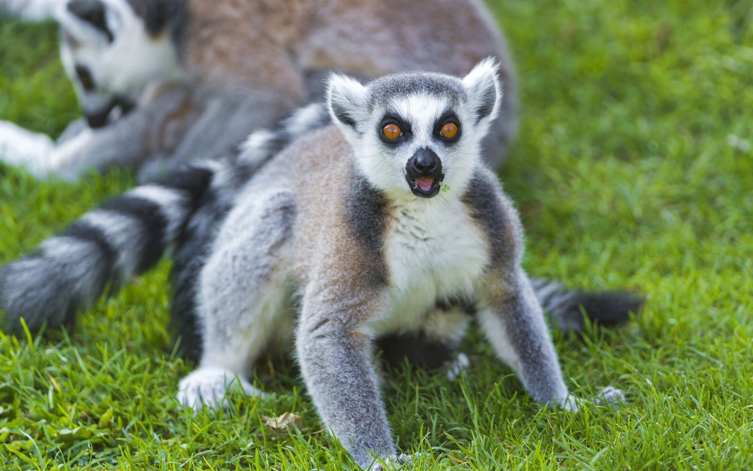129215 download wallpaper Animals, Lemur, Color, Sight, Opinion, Grass screensavers and pictures for free