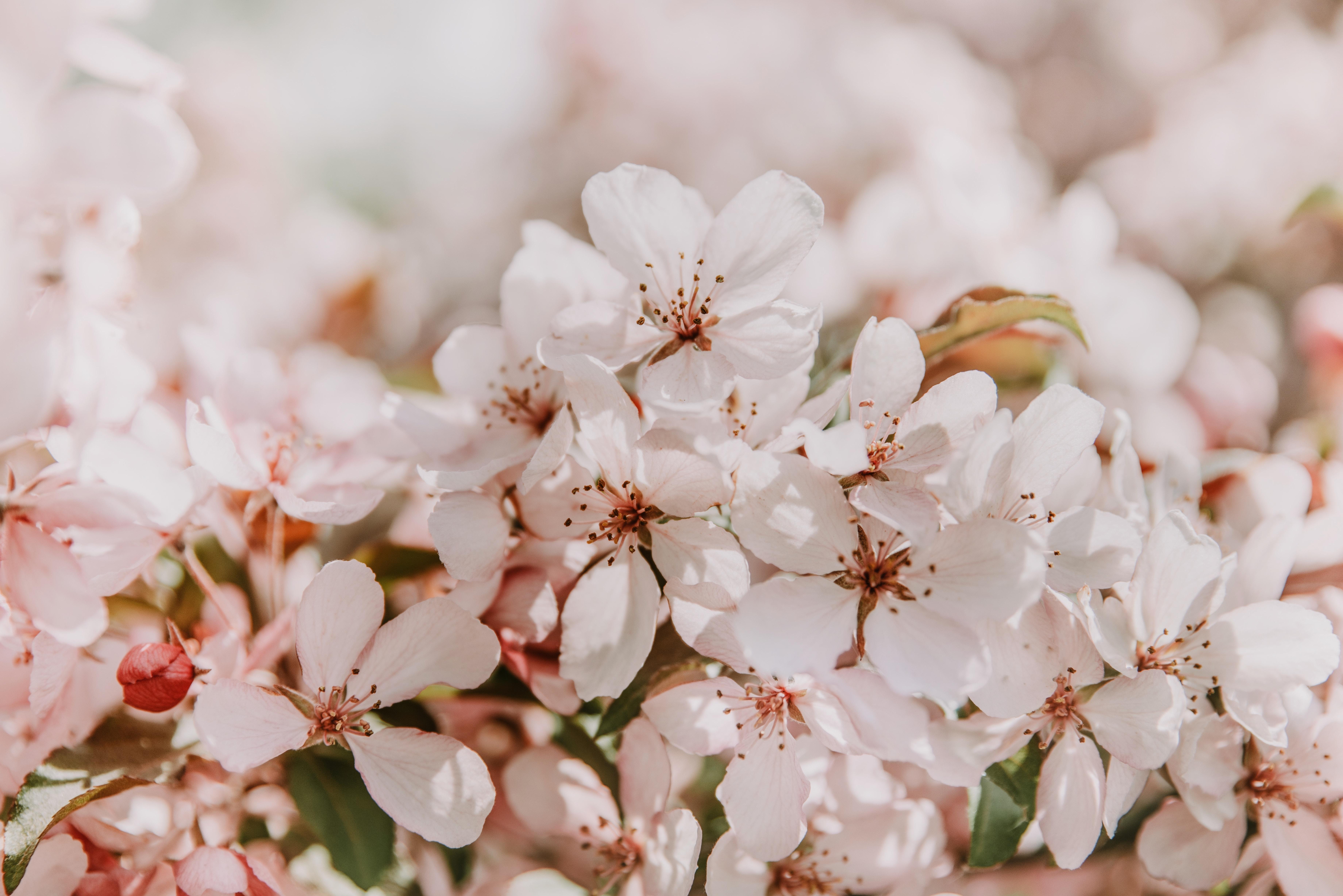 55497 Screensavers and Wallpapers Sakura for phone. Download Flowers, Sakura, Tender, Spring, Blooms, Light Pink pictures for free