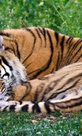 79303壁紙のダウンロード動物, 虎, プレデター, 捕食者, くるくるする, 凝り固まる, 睡眠, 夢, 横になります, 嘘, 草-スクリーンセーバーと写真を無料で