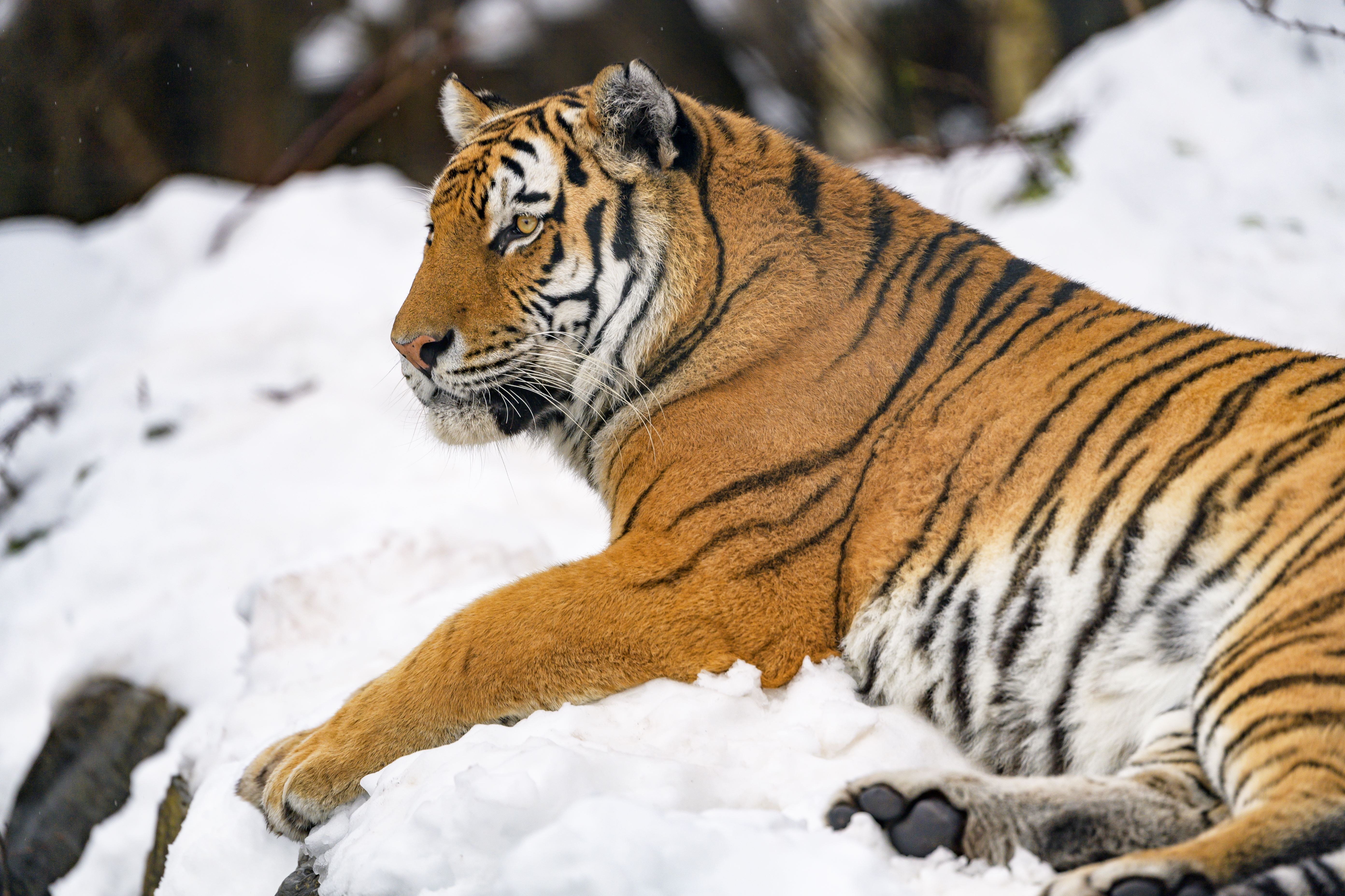 128652 download wallpaper Animals, Tiger, Animal, Big Cat, Snow screensavers and pictures for free