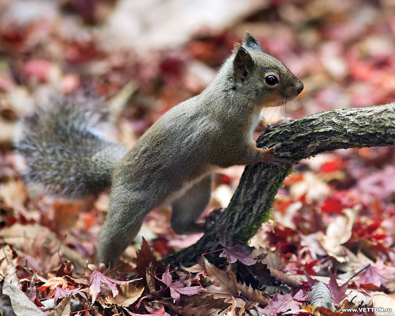 6412 download wallpaper Animals, Squirrel screensavers and pictures for free