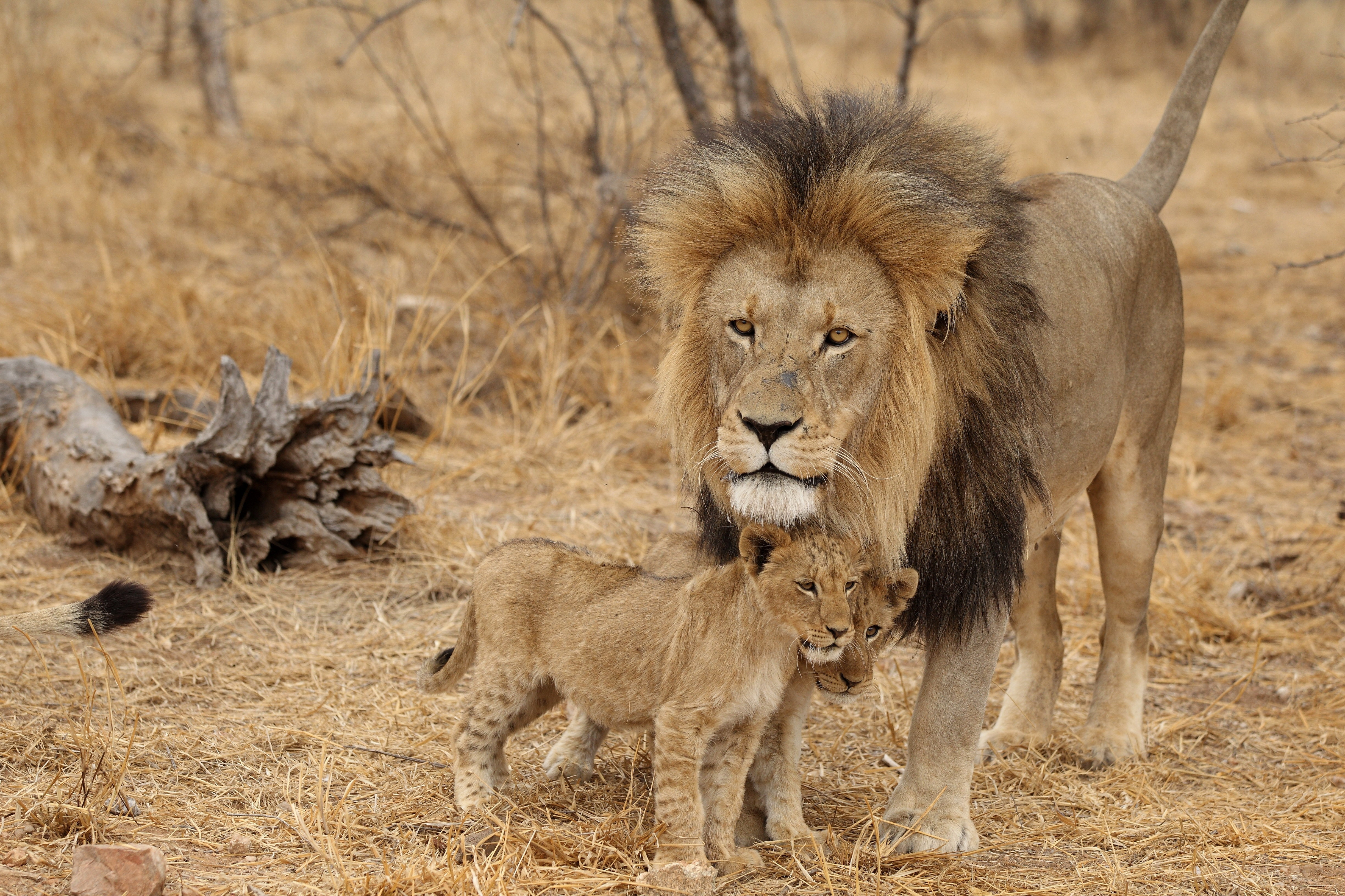 80414 Screensavers and Wallpapers Predators for phone. Download Animals, Predators, Lion, Family, Africa, Lion Cubs, Male pictures for free