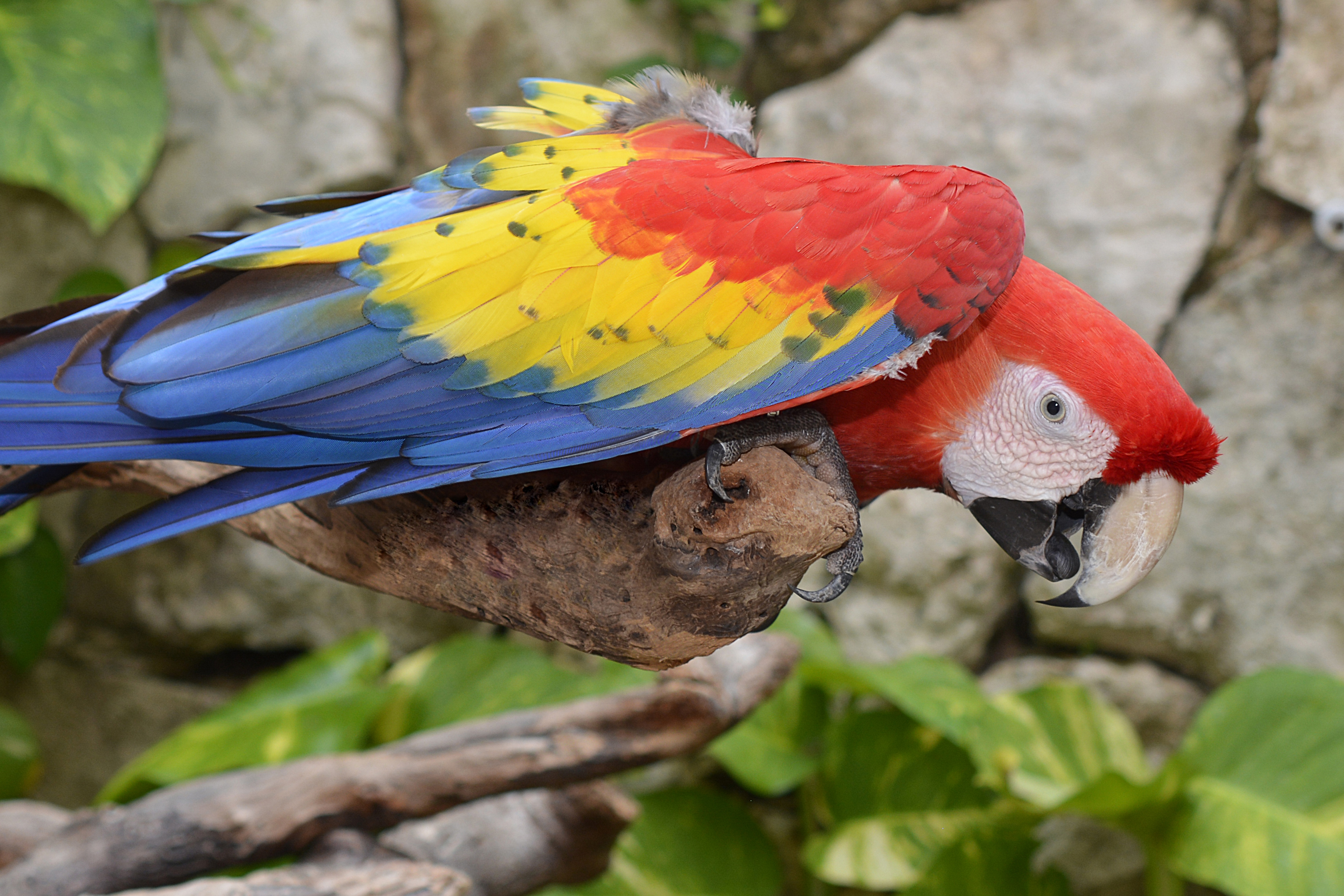 88374 download wallpaper Animals, Parrots, Macaw, Bird, Multicolored, Motley screensavers and pictures for free