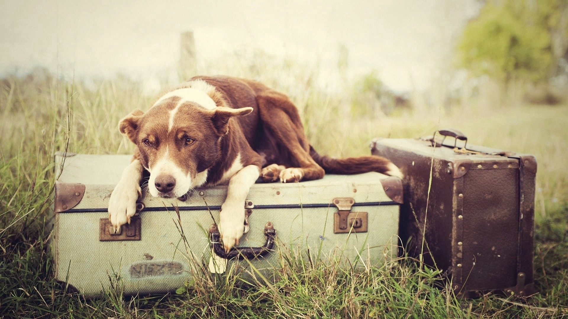 55629 download wallpaper Animals, Dog, Suitcases, To Lie Down, Lie, Expect screensavers and pictures for free