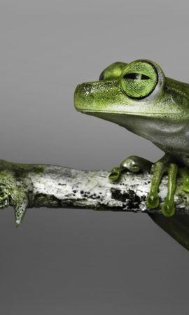 24761 baixar papel de parede Animais, Frogs - protetores de tela e imagens gratuitamente