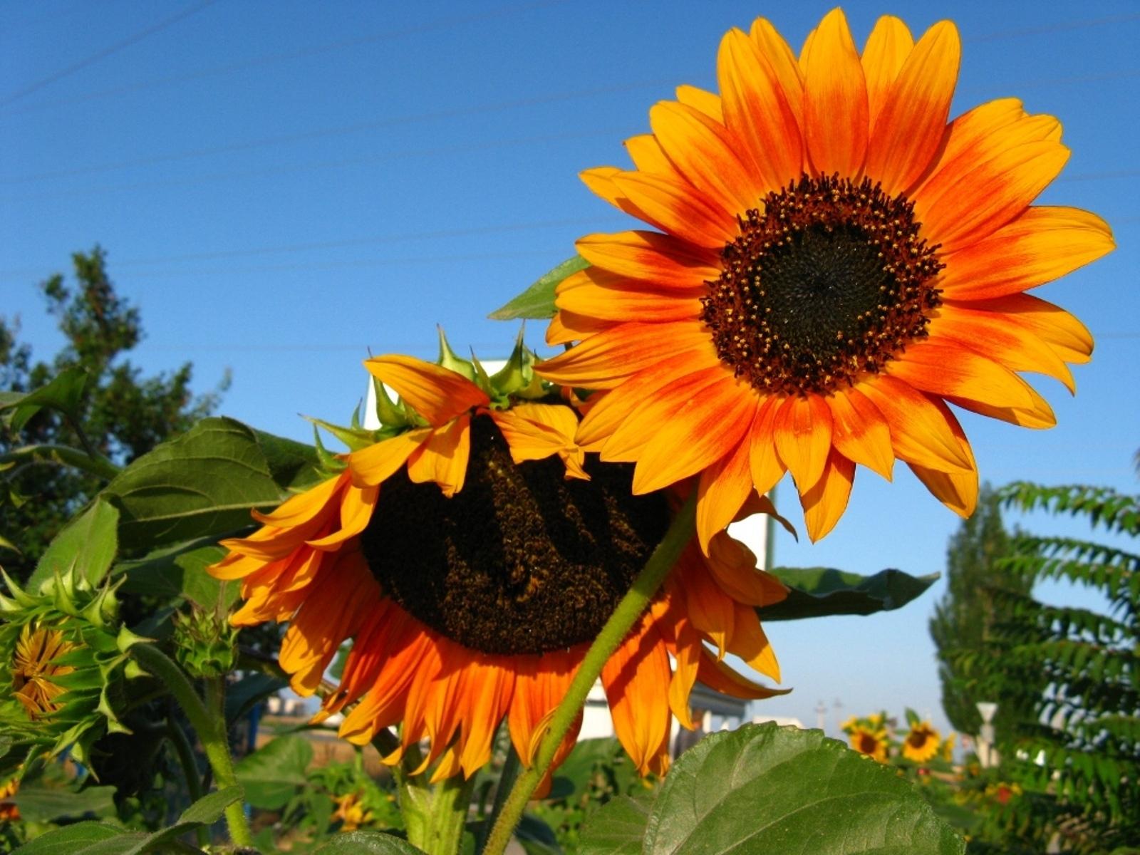 4816 免費下載壁紙 植物, 向日葵 屏保和圖片