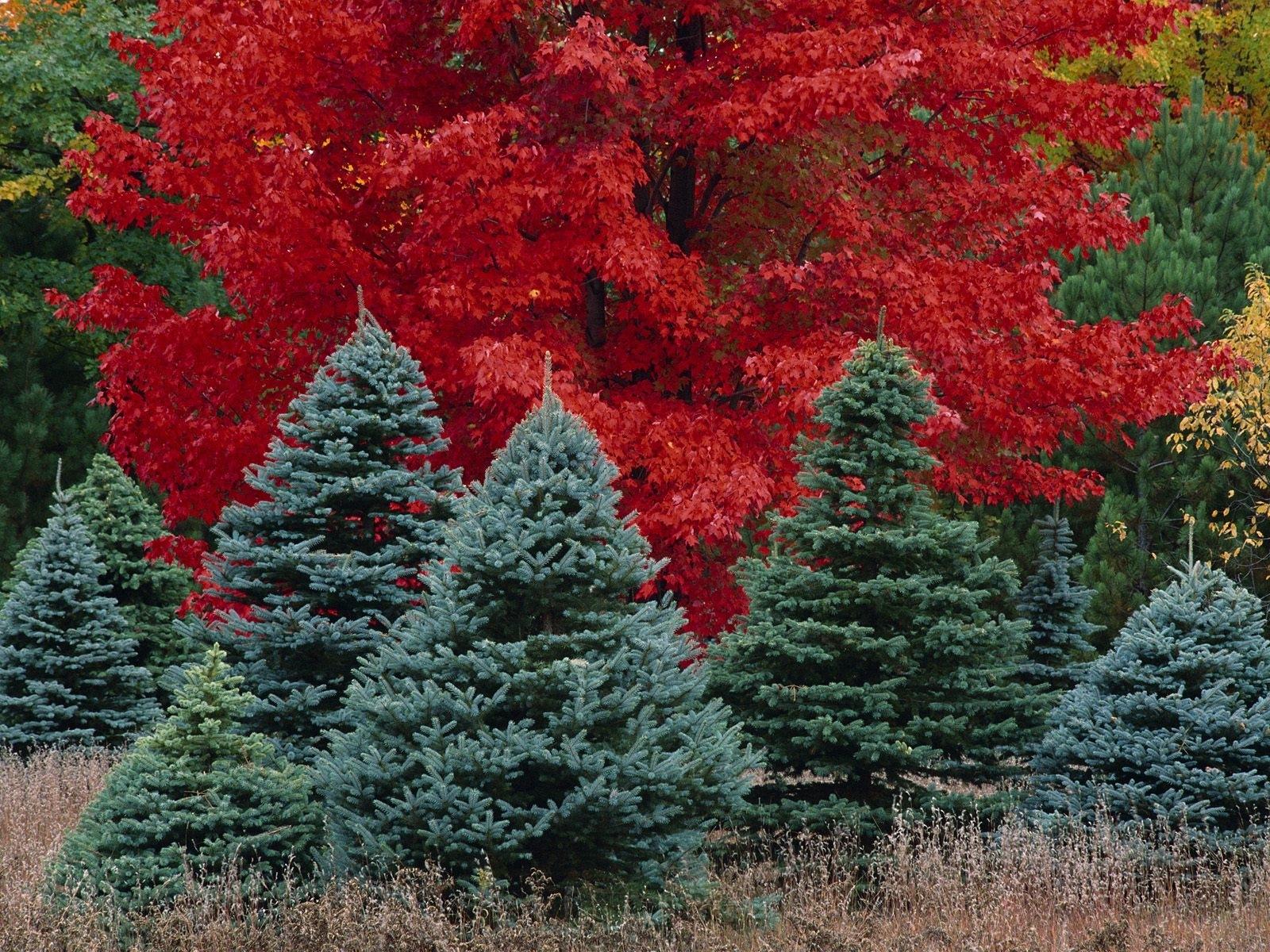 1326 скачать обои Пейзаж, Деревья, Елки - заставки и картинки бесплатно
