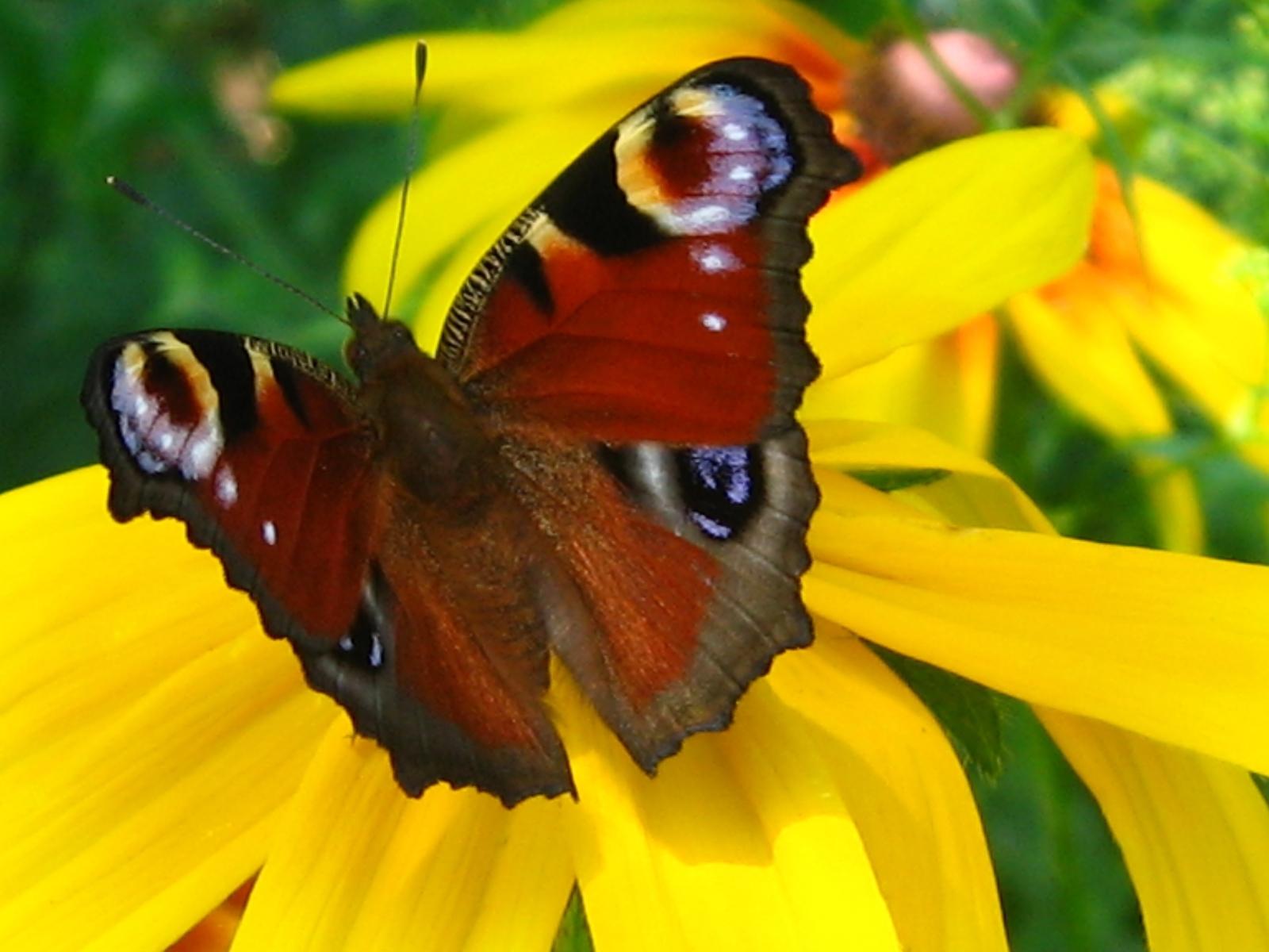 5933 скачать обои Бабочки, Насекомые - заставки и картинки бесплатно