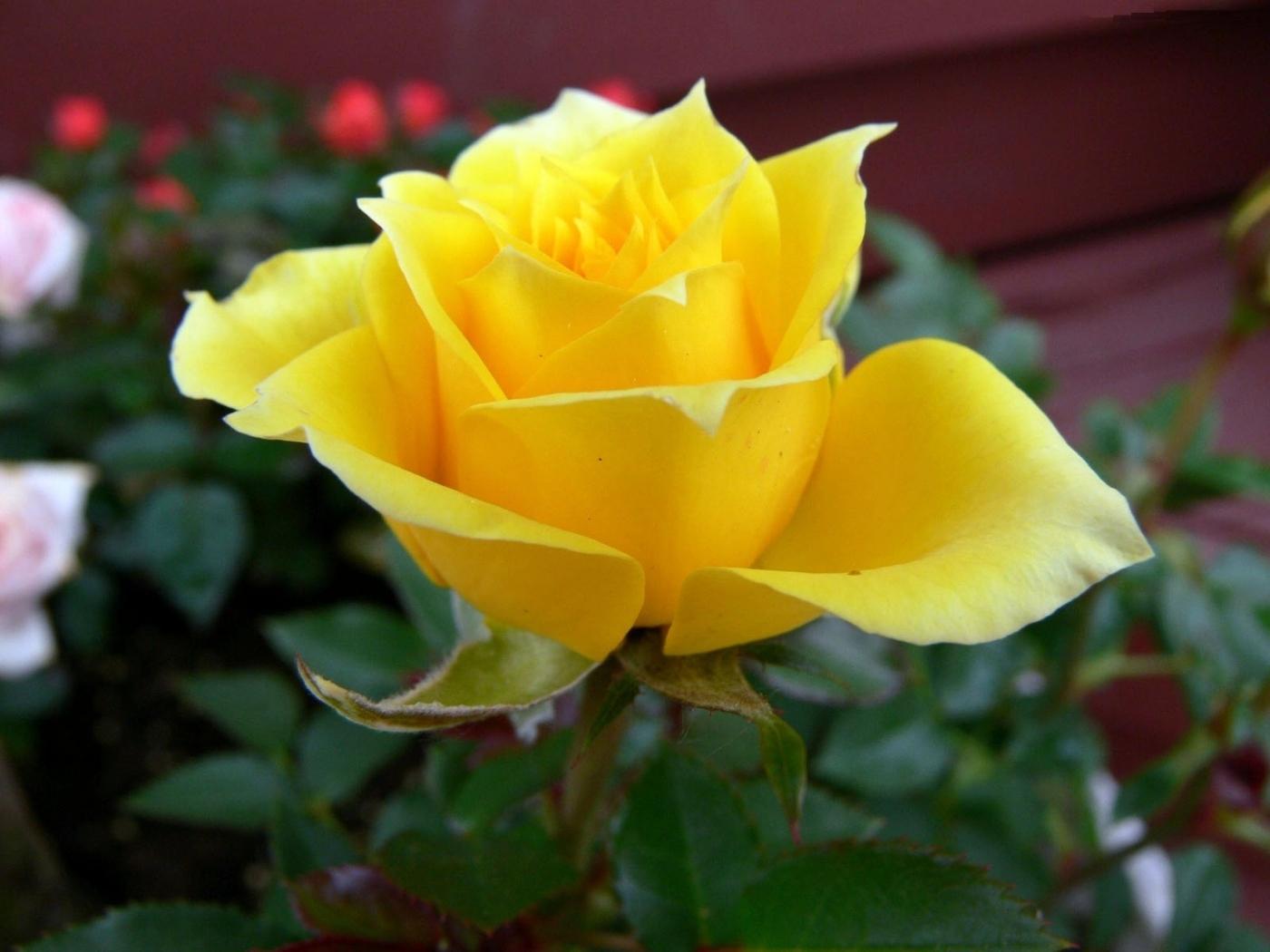 42686 скачать обои Растения, Цветы, Розы - заставки и картинки бесплатно