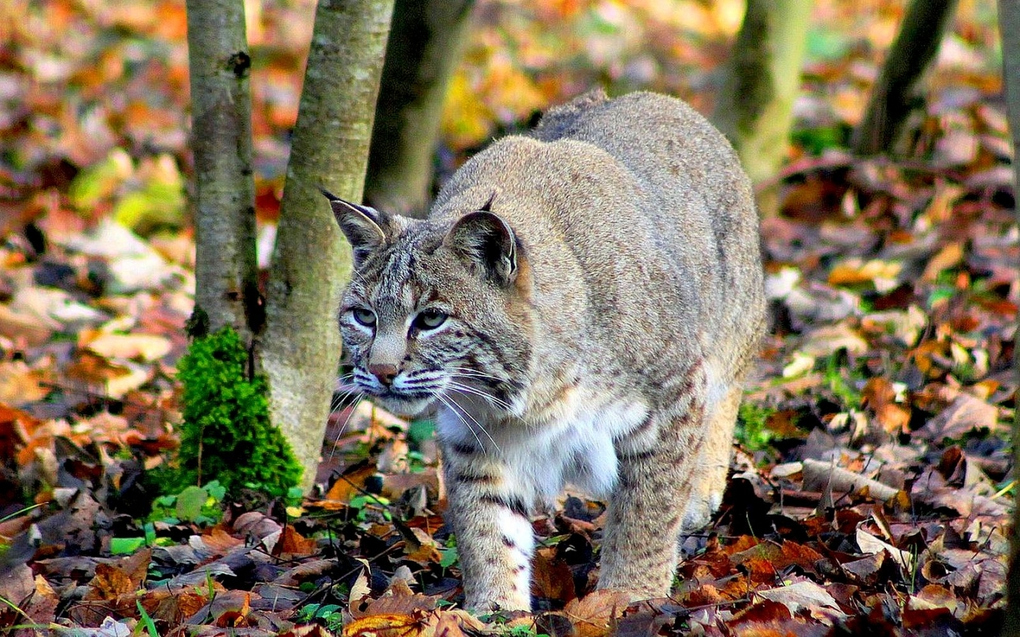 39538 download wallpaper Animals, Bobcats screensavers and pictures for free