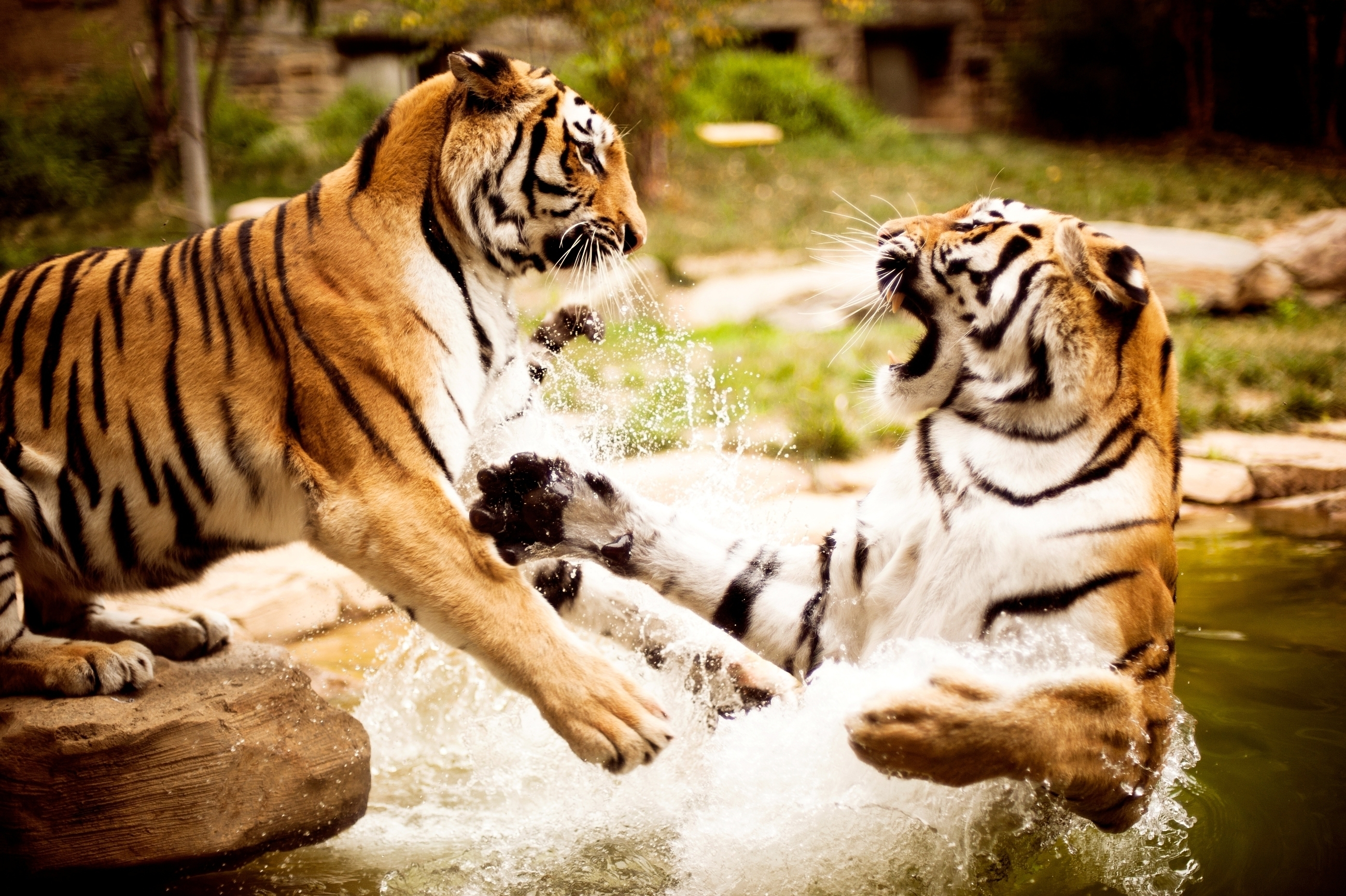 Download mobile wallpaper Predator, Fight, Pair, Couple, Tigers, Water, Animals, Aggression for free.