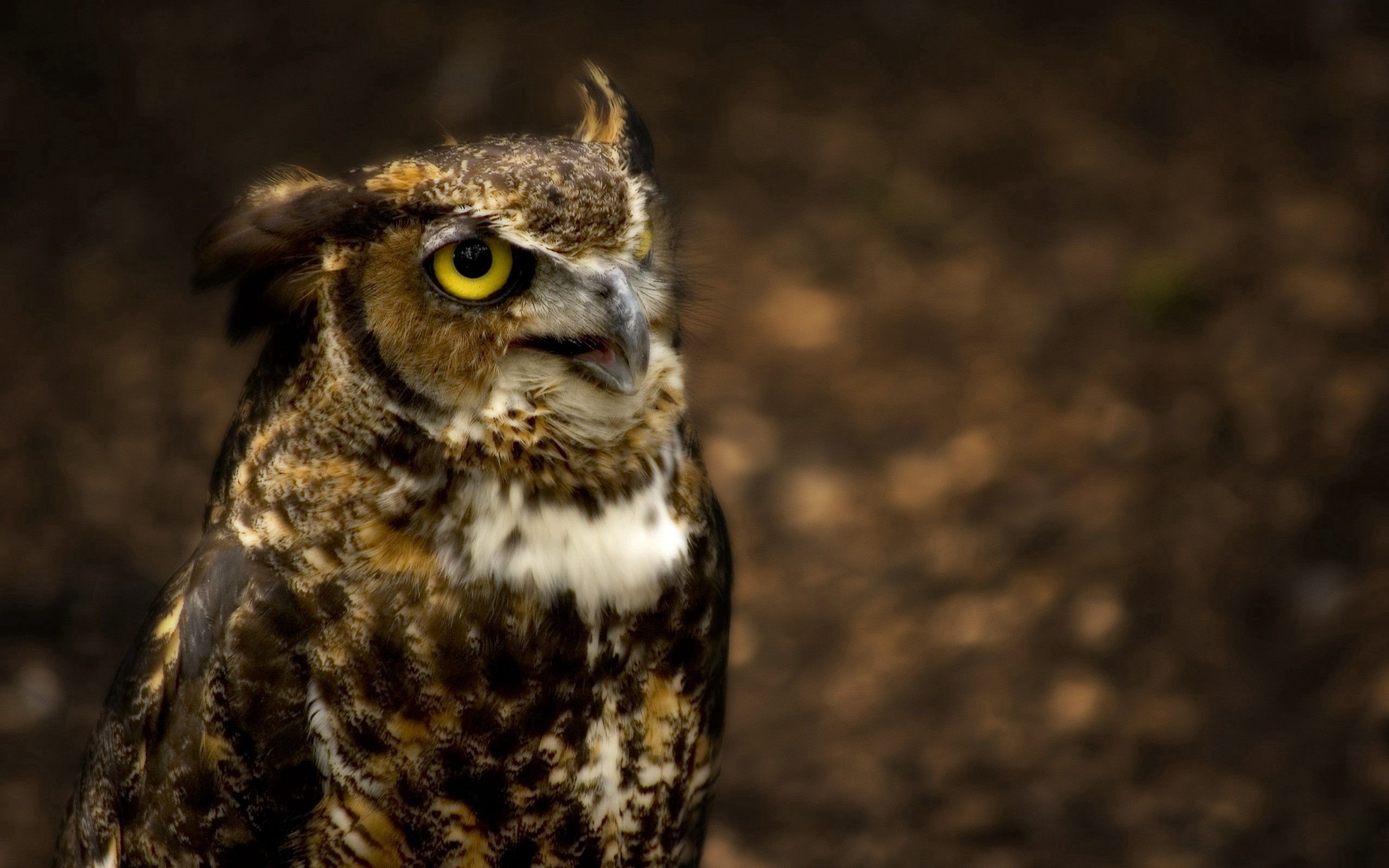56578 download wallpaper Animals, Owl, Head, Glare, Hunting, Hunt, Eyes screensavers and pictures for free
