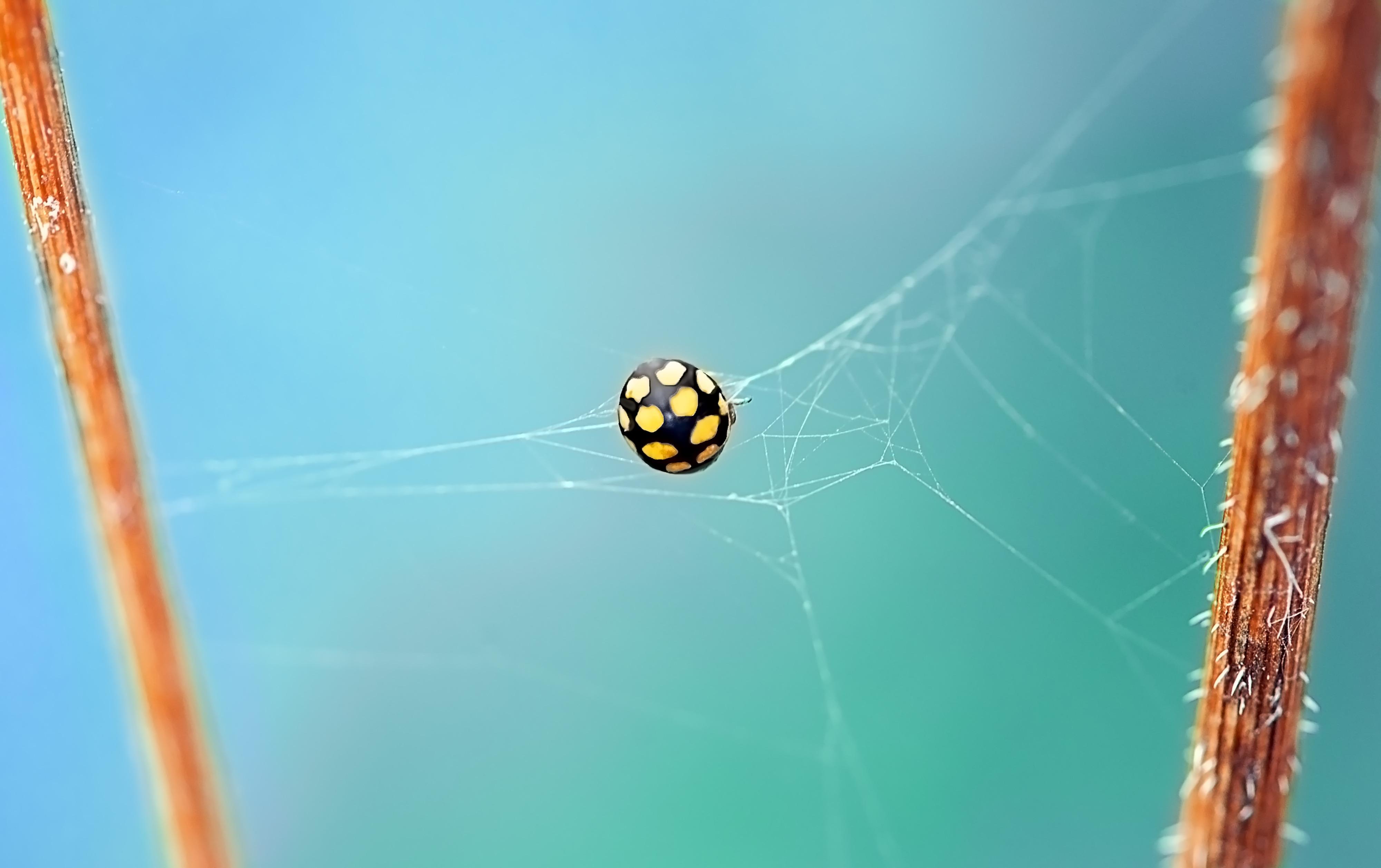 149899 Hintergrundbild herunterladen Web, Marienkäfer, Käfer, Makro, Insekt, Ladybird, Fehler - Bildschirmschoner und Bilder kostenlos