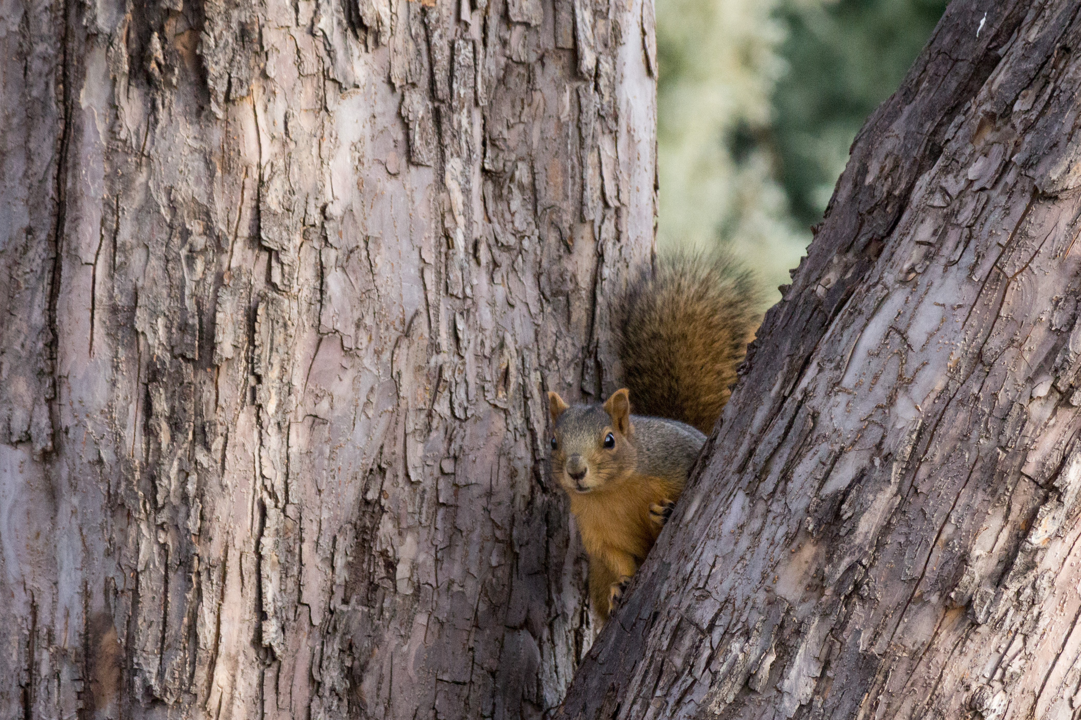 54675 download wallpaper Animals, Squirrel, Wood, Tree, Animal, Peek Out, Look Out screensavers and pictures for free
