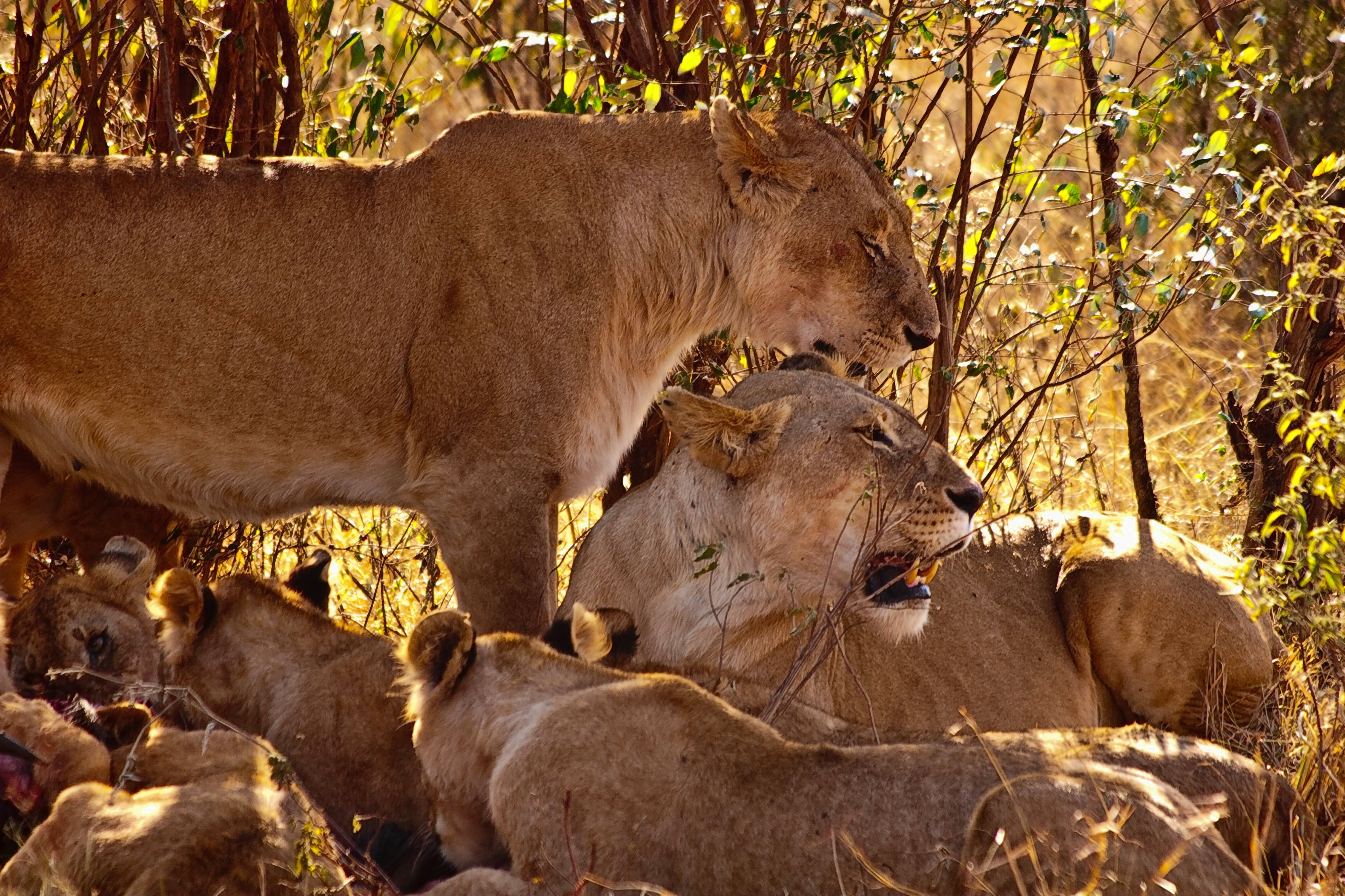 80640 Screensavers and Wallpapers Predators for phone. Download Animals, Grass, Predators, Sit, Young, Lion, Family, Cubs pictures for free