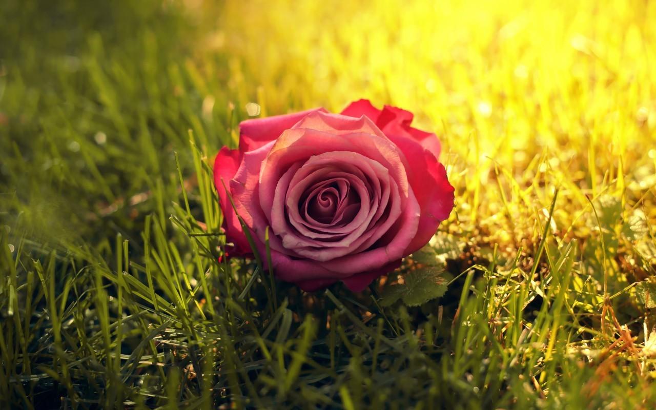 16448 скачать обои Растения, Цветы, Розы - заставки и картинки бесплатно