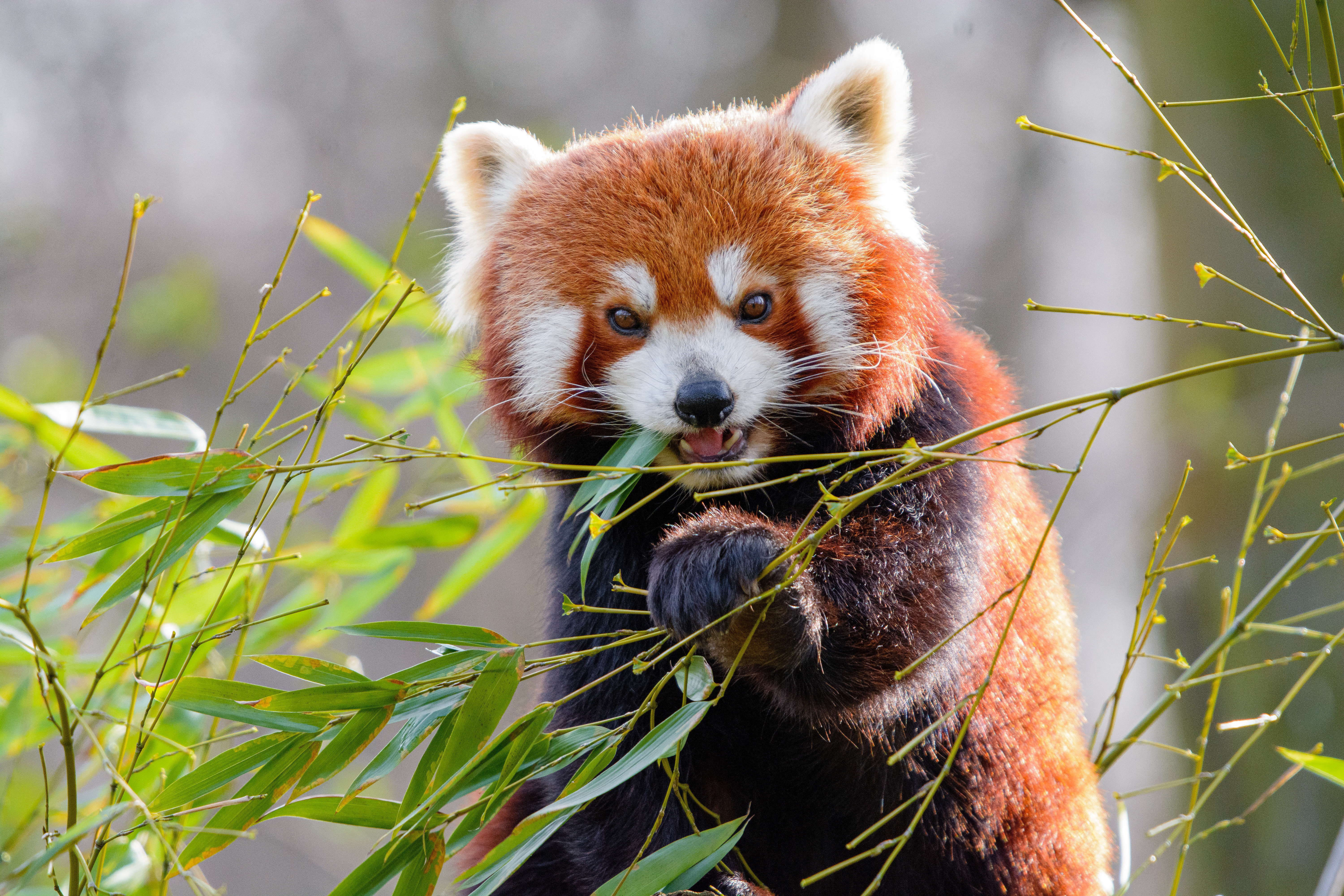 68847 download wallpaper Animals, Red Panda, Bamboo, Animal screensavers and pictures for free