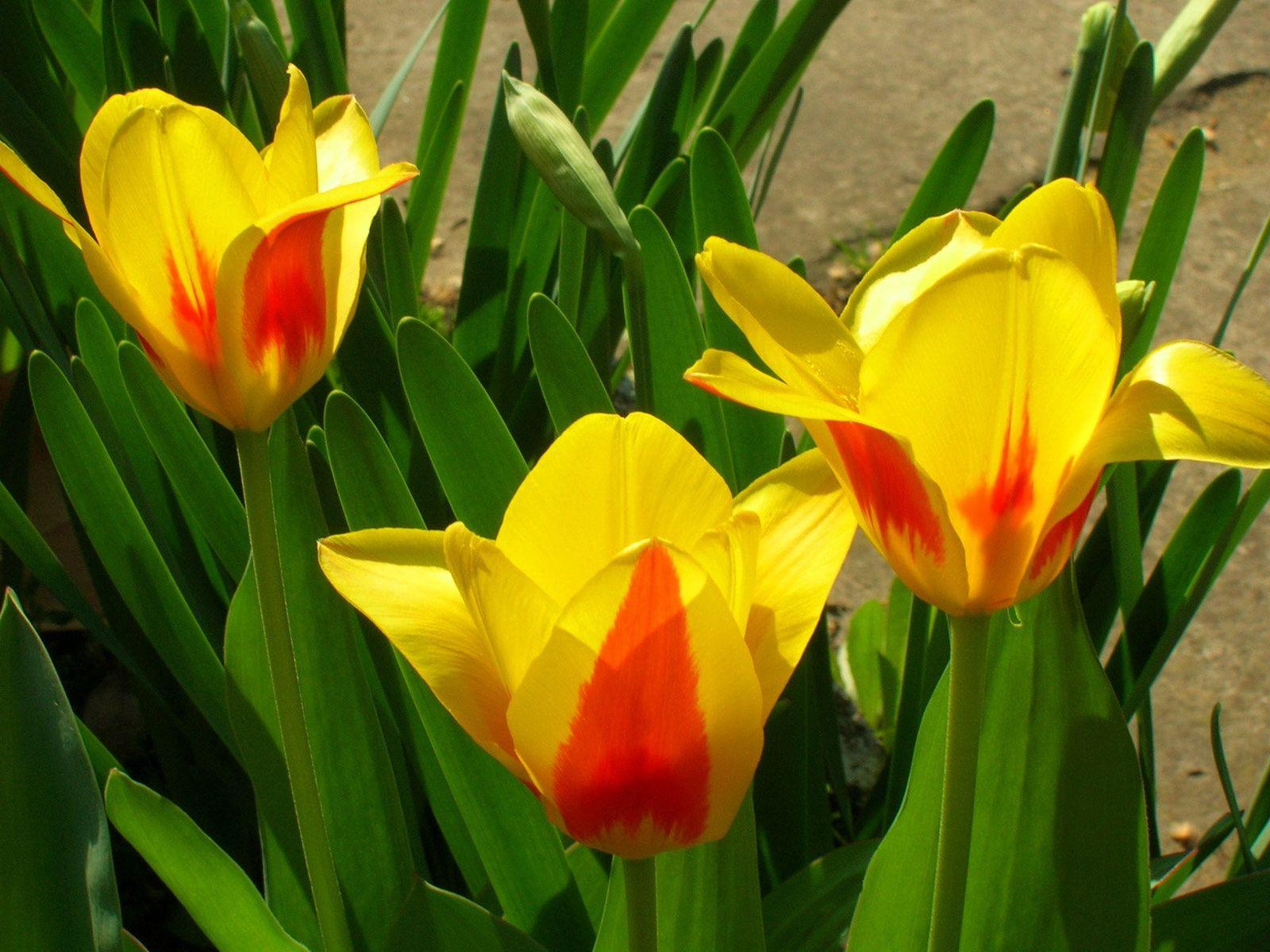 91478 descargar fondo de pantalla Flores, Jaspeado, Moteado, Disuelto, Suelto, Verduras, Cama De Flores, Parterre, Tulipanes: protectores de pantalla e imágenes gratis