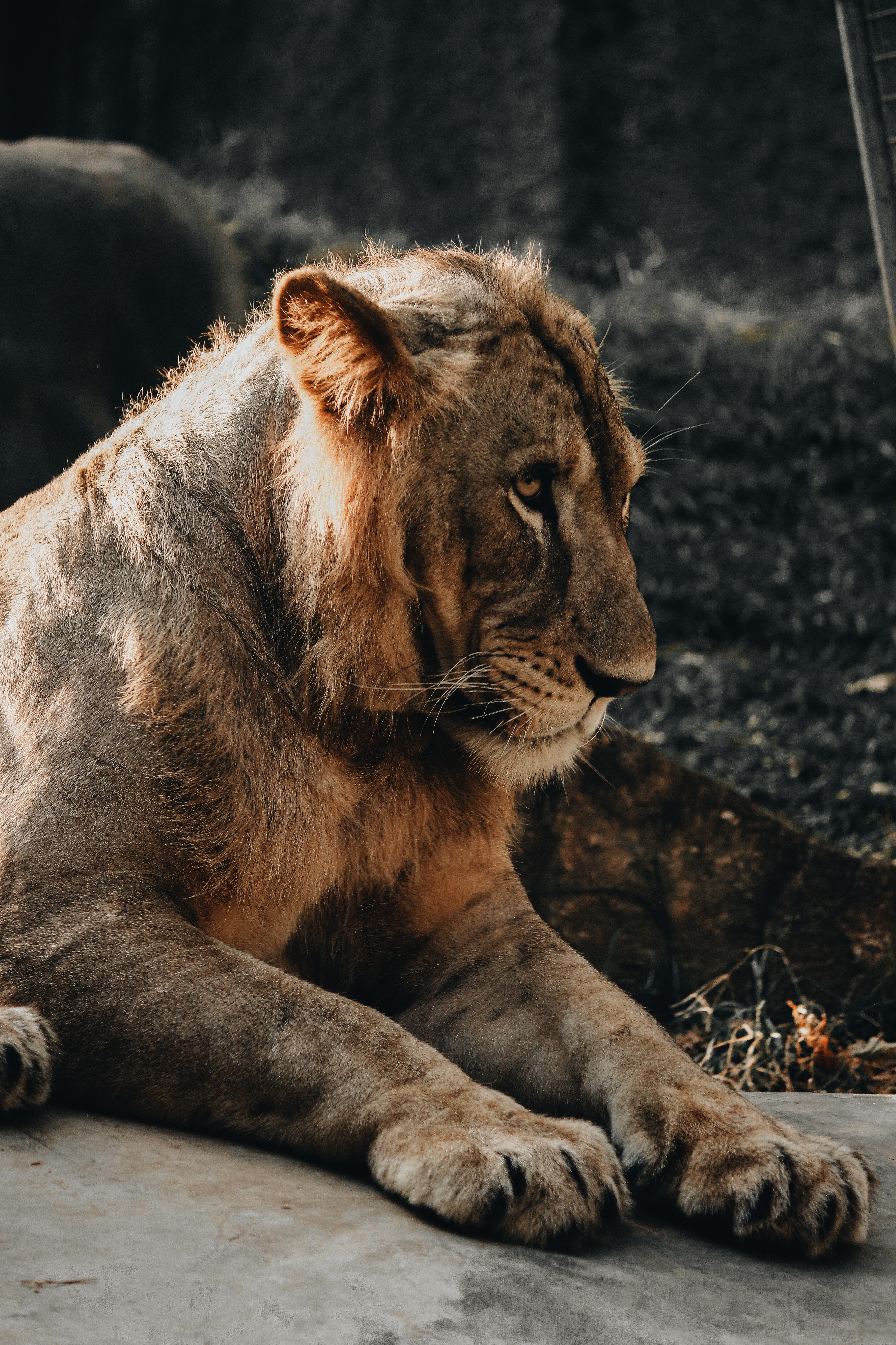 150699 download wallpaper Animals, Lion, Lion Cub, Young, Joey, To Be Embarrassed, Be Embarrassed, Predator, Big Cat screensavers and pictures for free