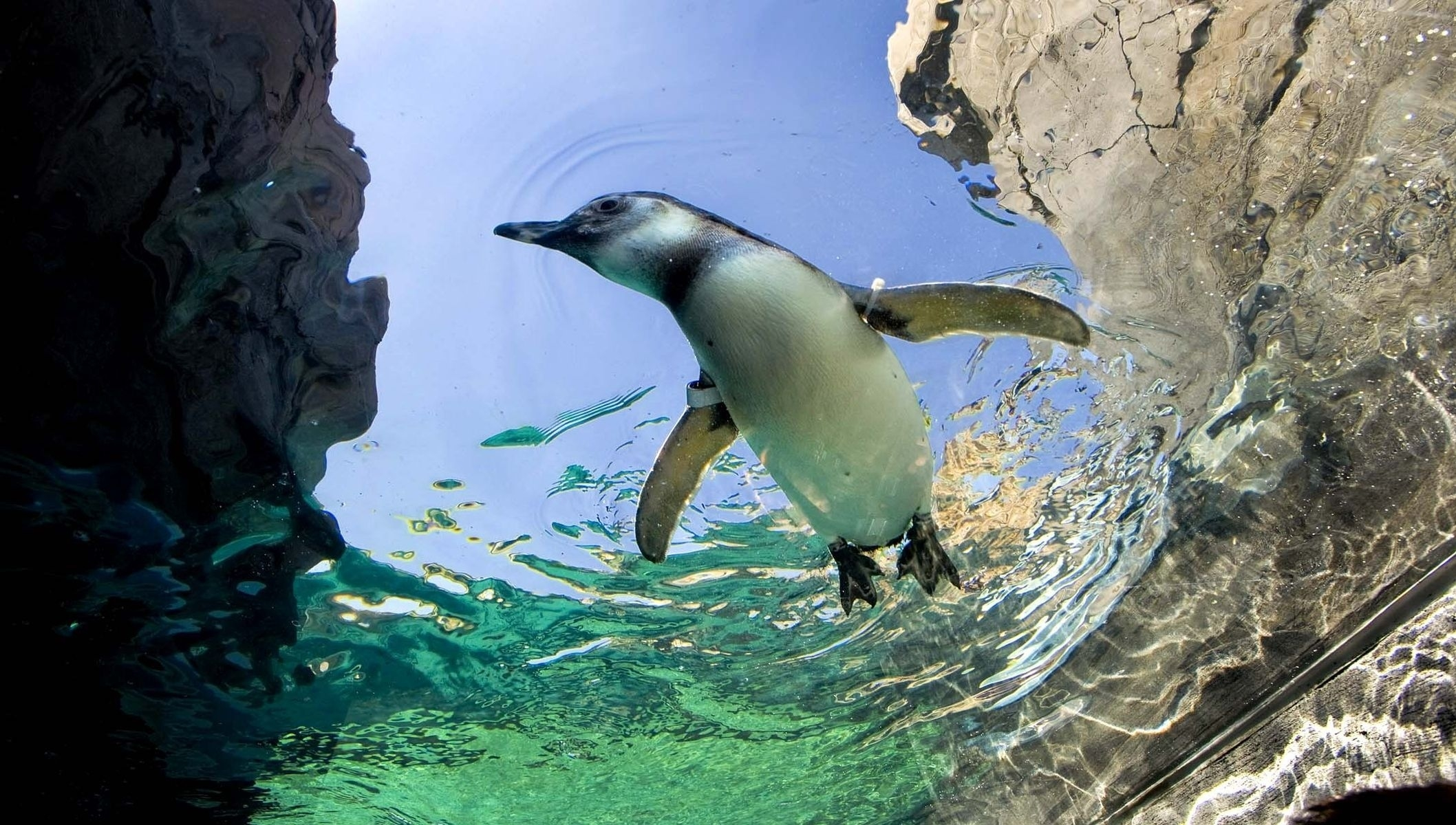 137083 download wallpaper Animals, Penguin, To Swim, Swim, Water, Stones screensavers and pictures for free