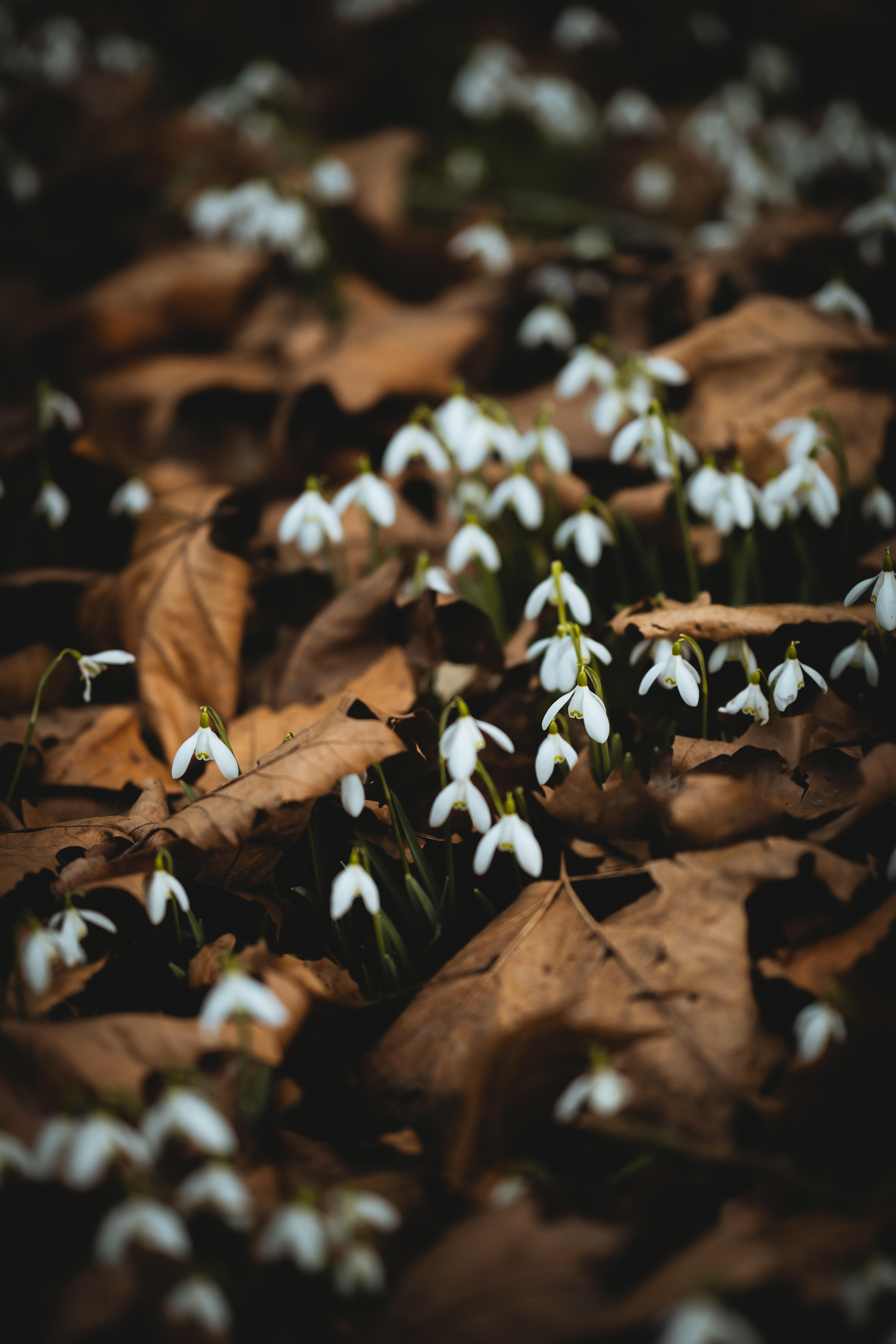 54769 Заставки и Обои Подснежники на телефон. Скачать Цветы, Листья, Подснежники, Белый, Весна картинки бесплатно