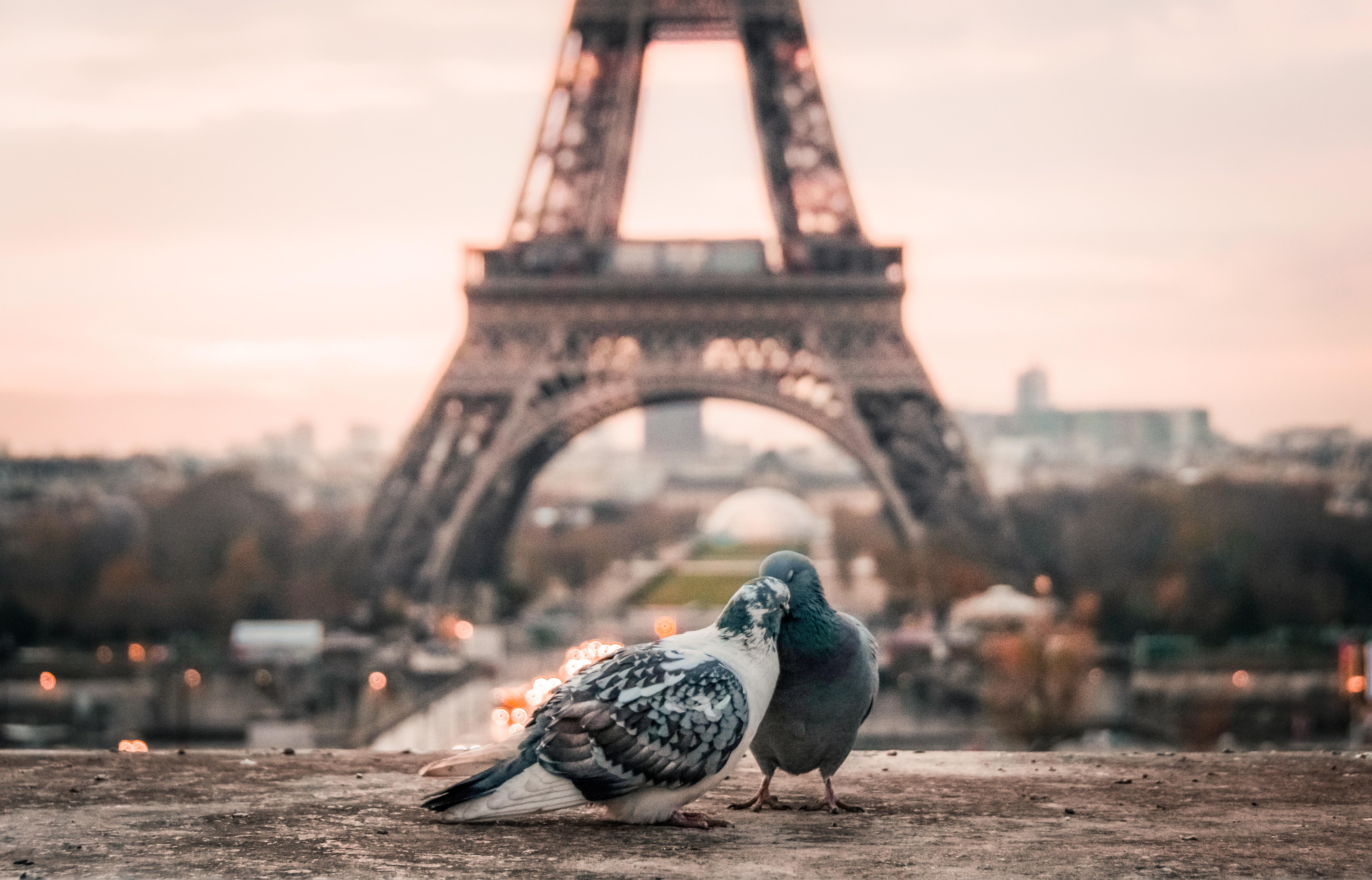 107681 télécharger le fond d'écran Animaux, Pigeons, Coupler, Paire, Tour Eiffel - économiseurs d'écran et images gratuitement