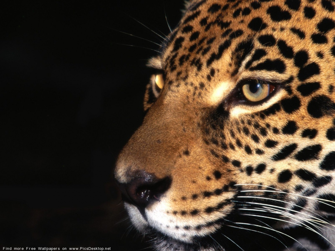 15029 download wallpaper Animals, Leopards screensavers and pictures for free