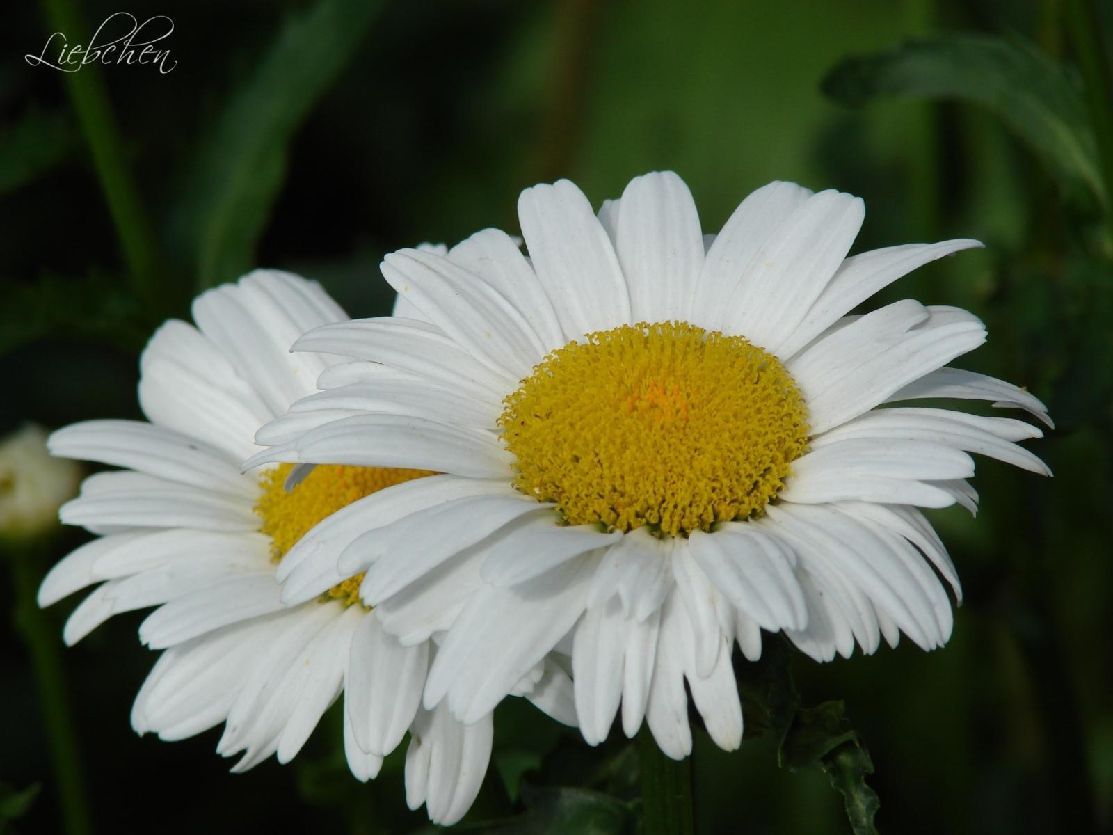 1034 скачать обои Растения, Цветы, Ромашки - заставки и картинки бесплатно